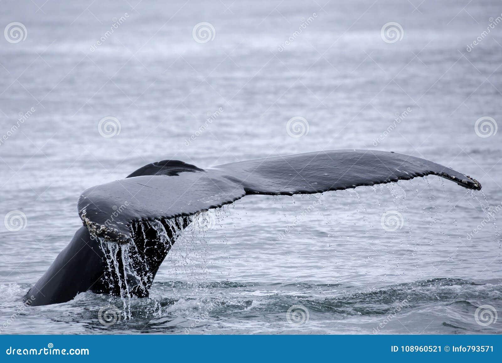 Aleta de cola de la ballena jorobada poderosa
