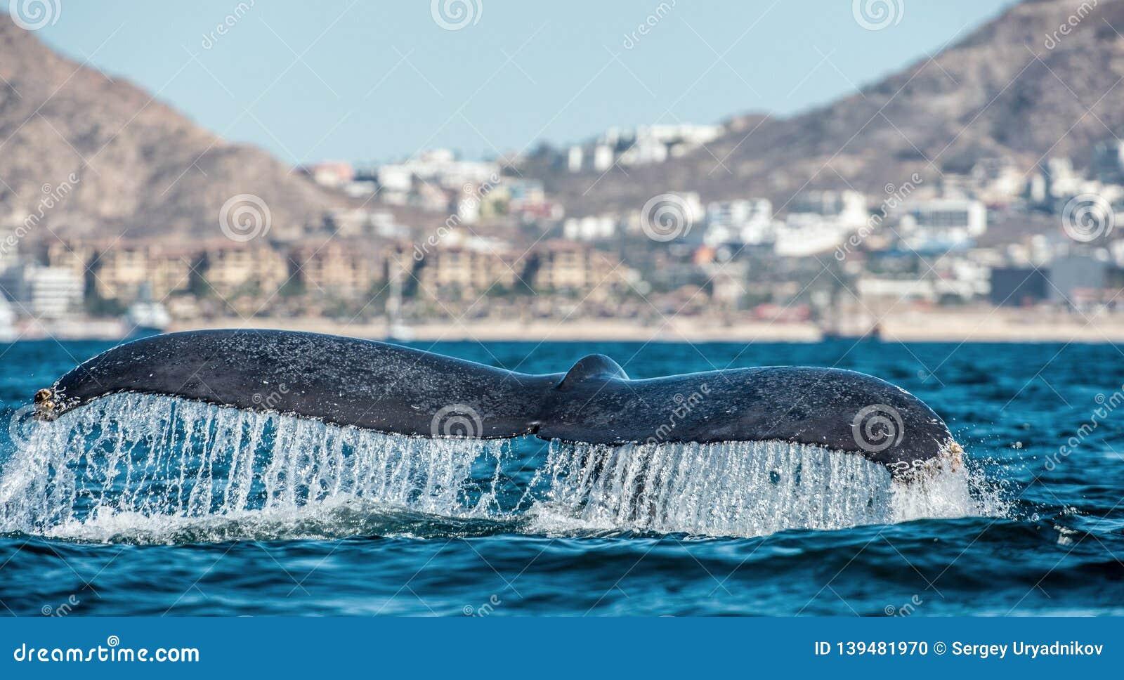 Aleta de cola de los novaeangliae poderosos del Megaptera de la ballena jorobada