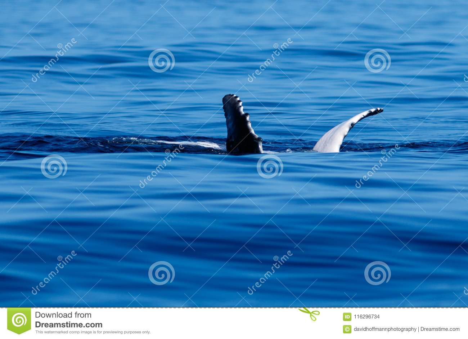 Aletas pectorales de la ballena jorobada del bebé