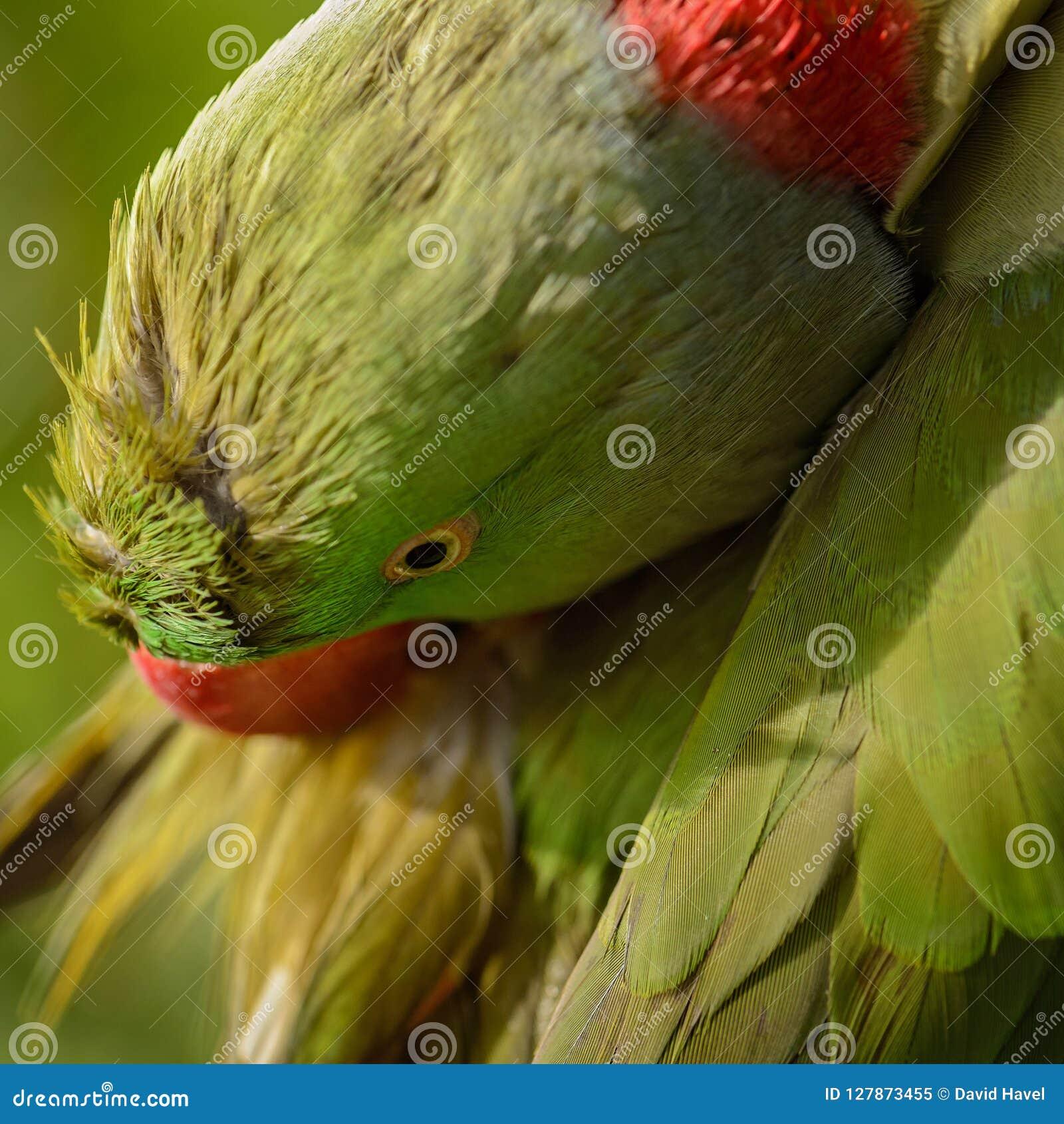 Alexandrine Parakeet - eupatria dello Psittacula
