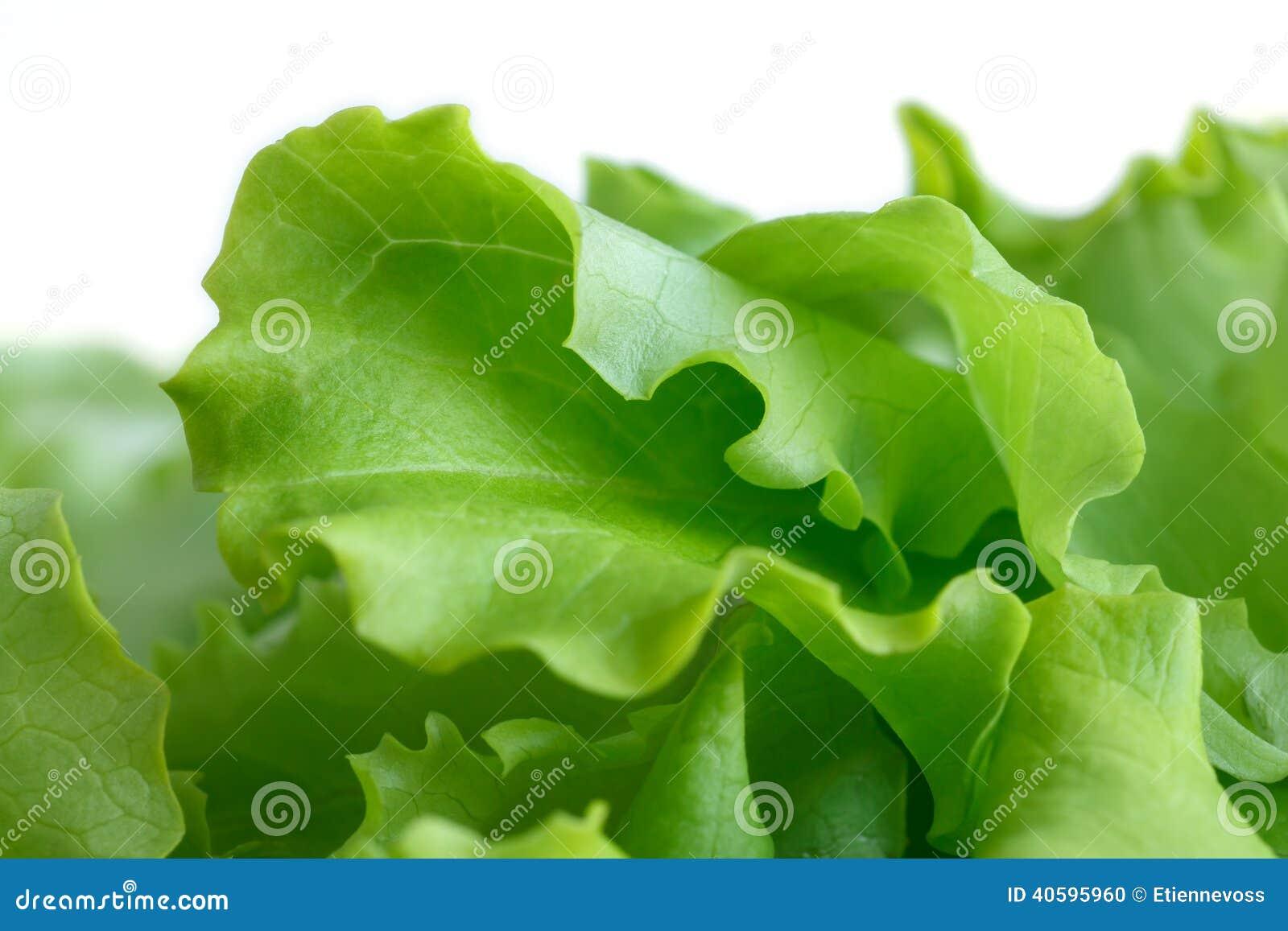 Alface de folha fresca