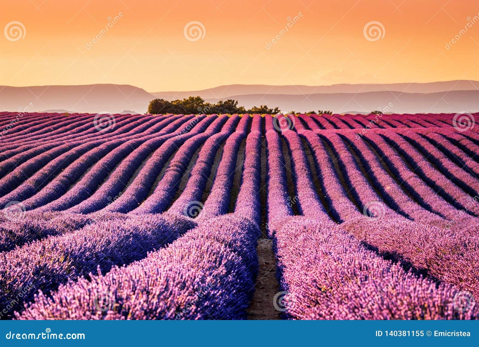 Alfazema de Valensole em Provence, Fran?a