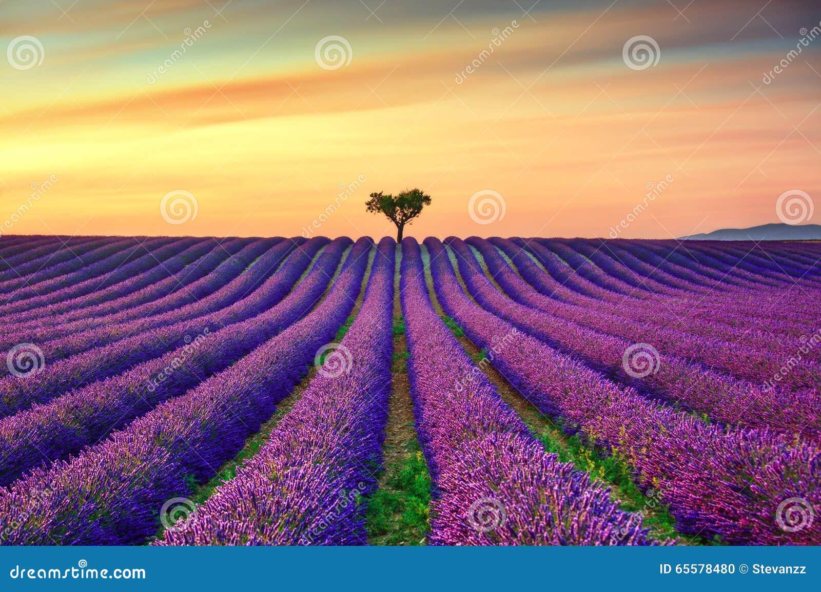Alfazema e árvores sós subida no por do sol Provence, France