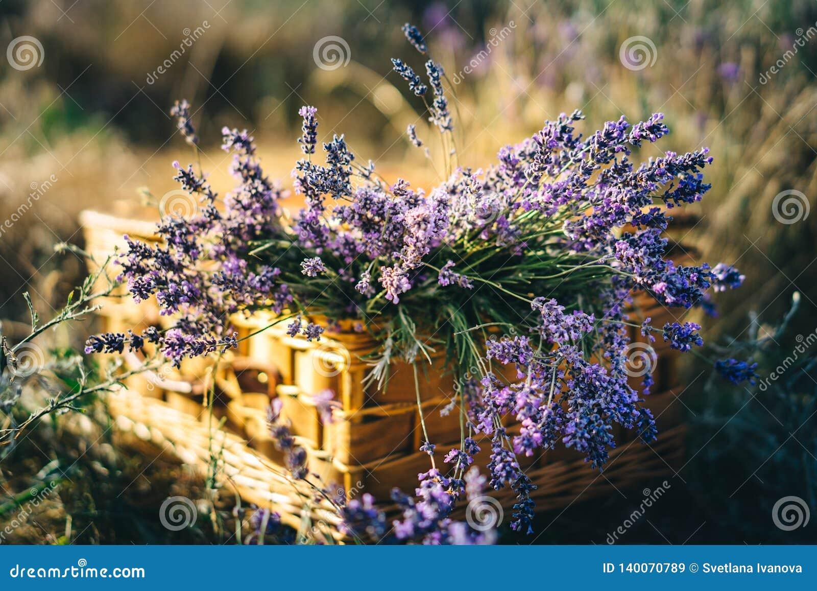 A alfazema em uma cesta de vime está em um campo da alfazema