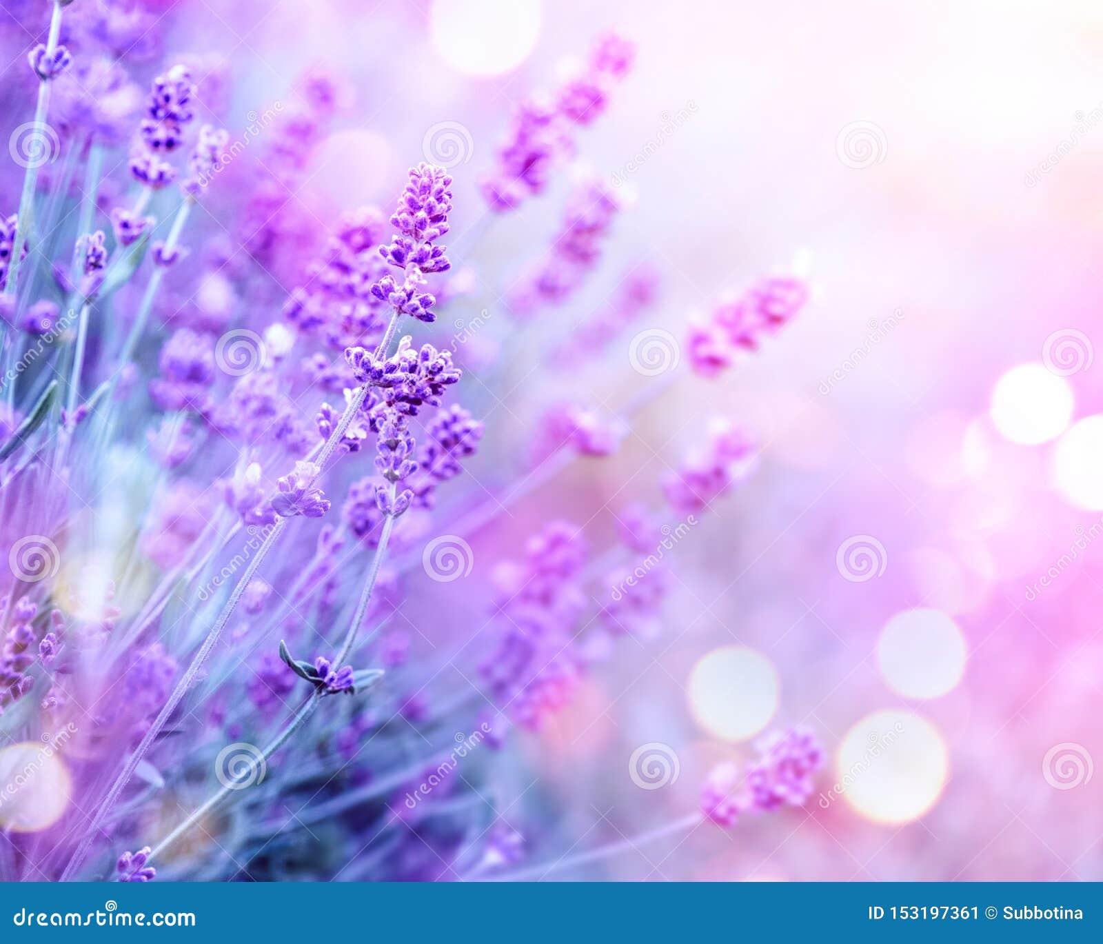 Alfazema Flores perfumadas de florescência em um campo, close up da alfazema Fundo violeta da alfazema crescente que balança no v