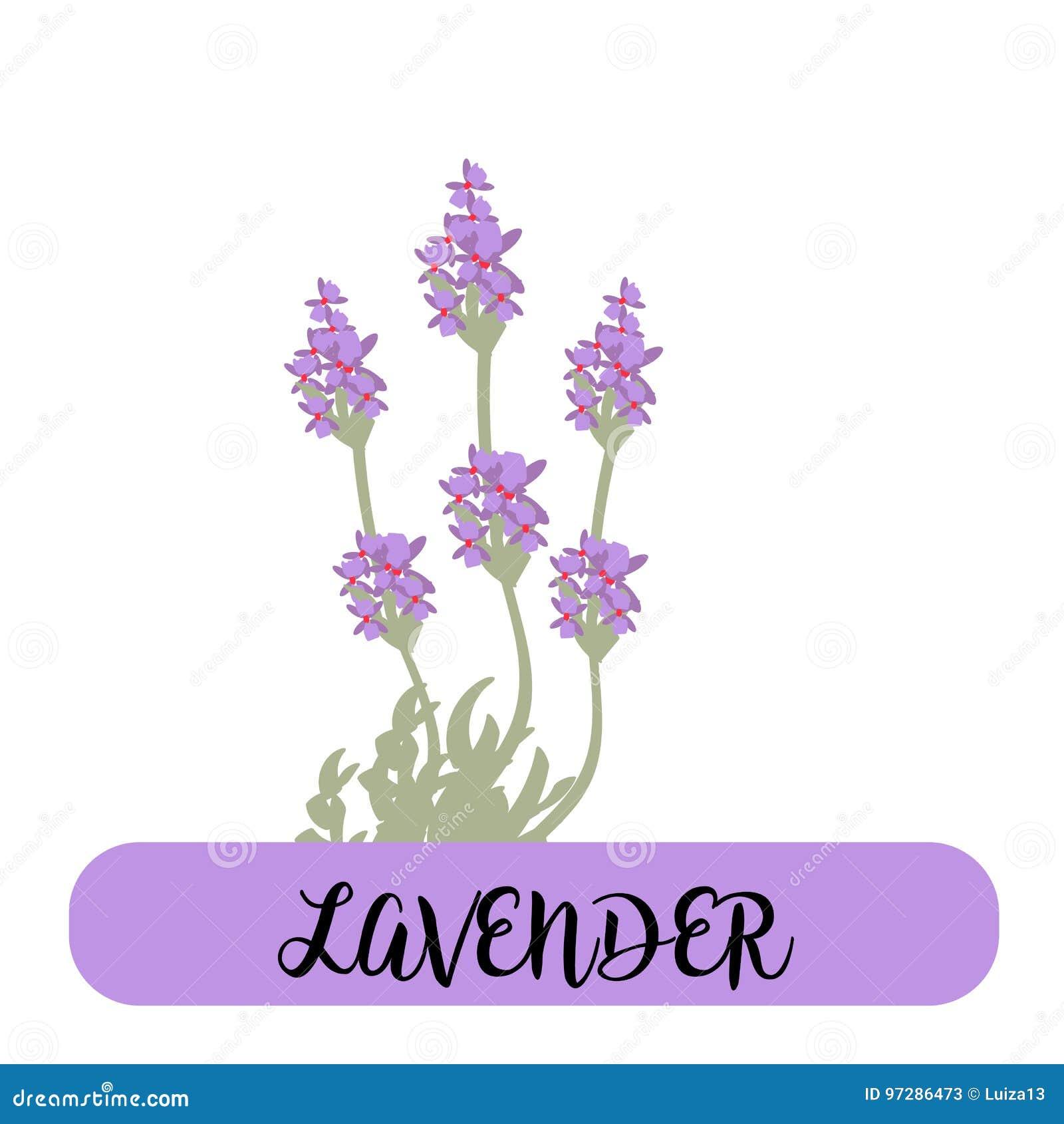 A alfazema floresce elementos botanical A coleção da alfazema floresce em um fundo branco Pacote da ilustração do vetor