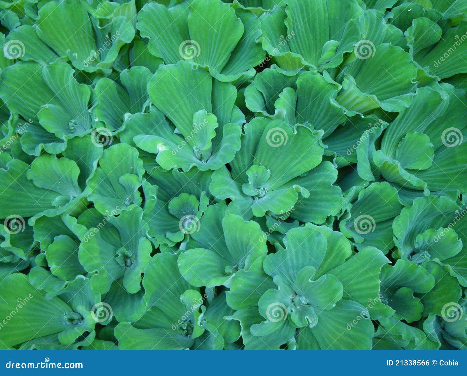 Alfombra verde de la lechuga de agua foto de archivo for Alfombra verde para jardin