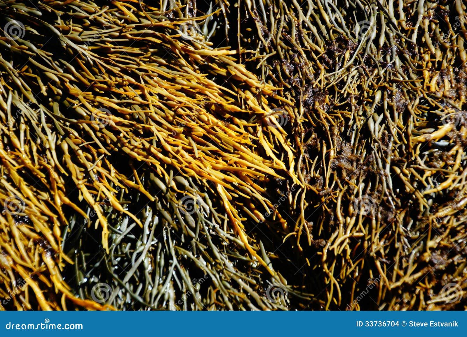 Alga marina y quelpo
