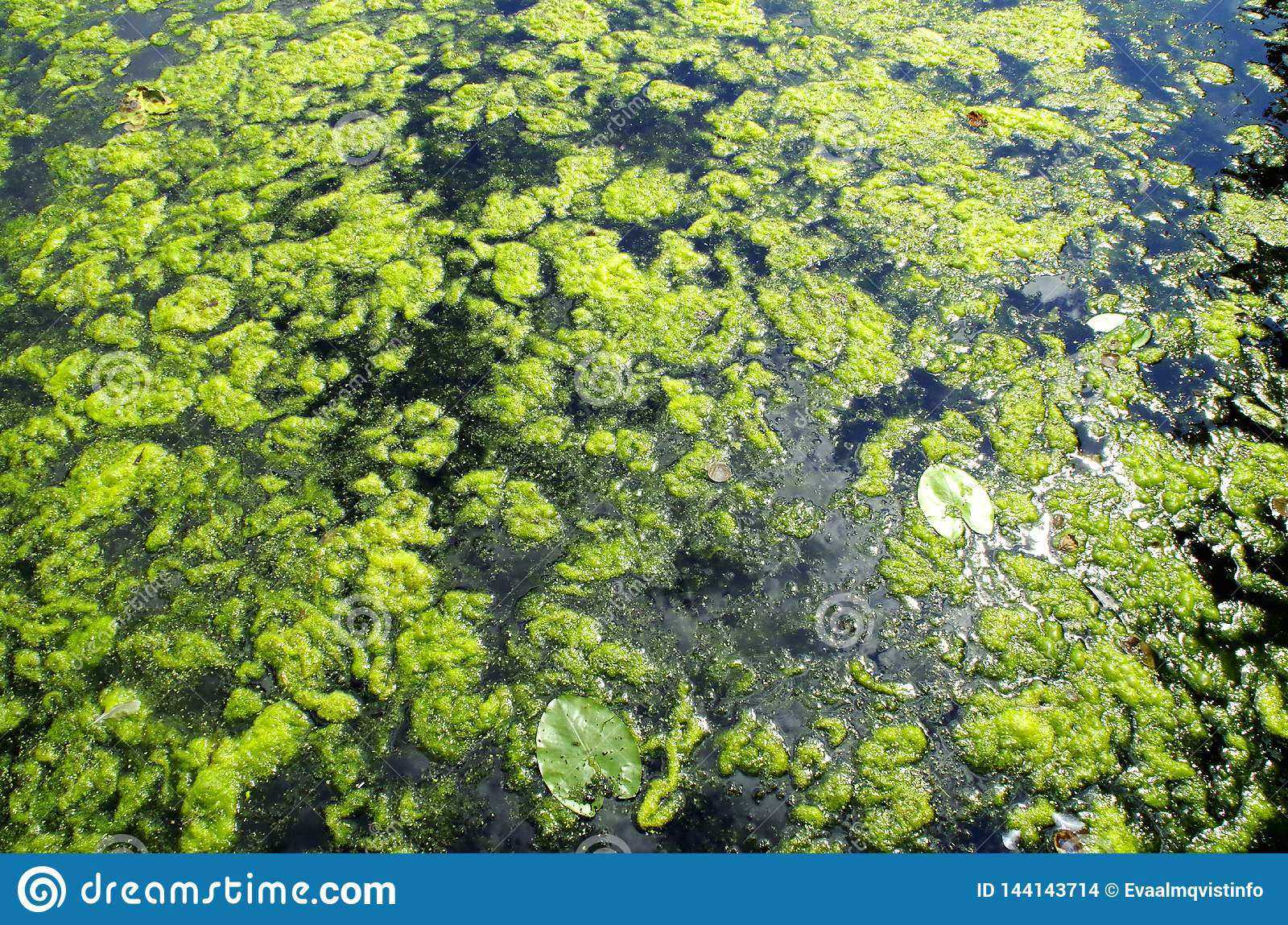 Algae bloom in lake.