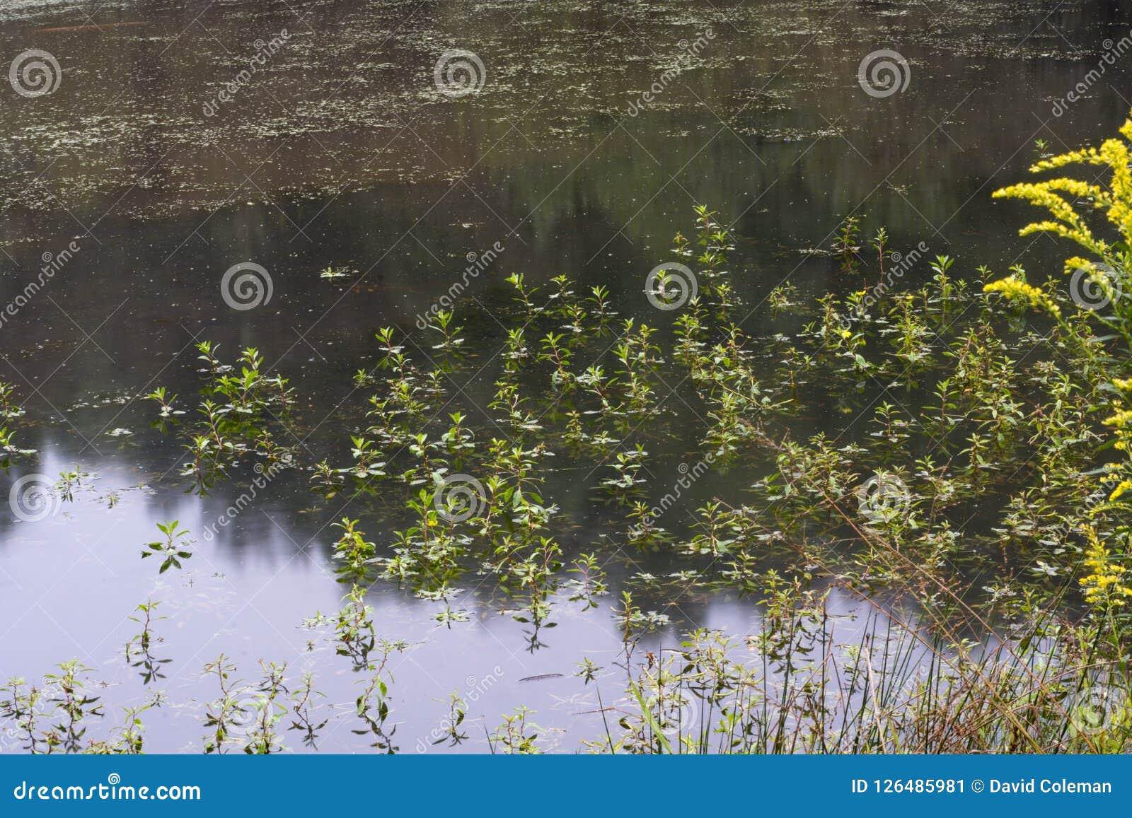Algen im Teich mit dem Regenfallen