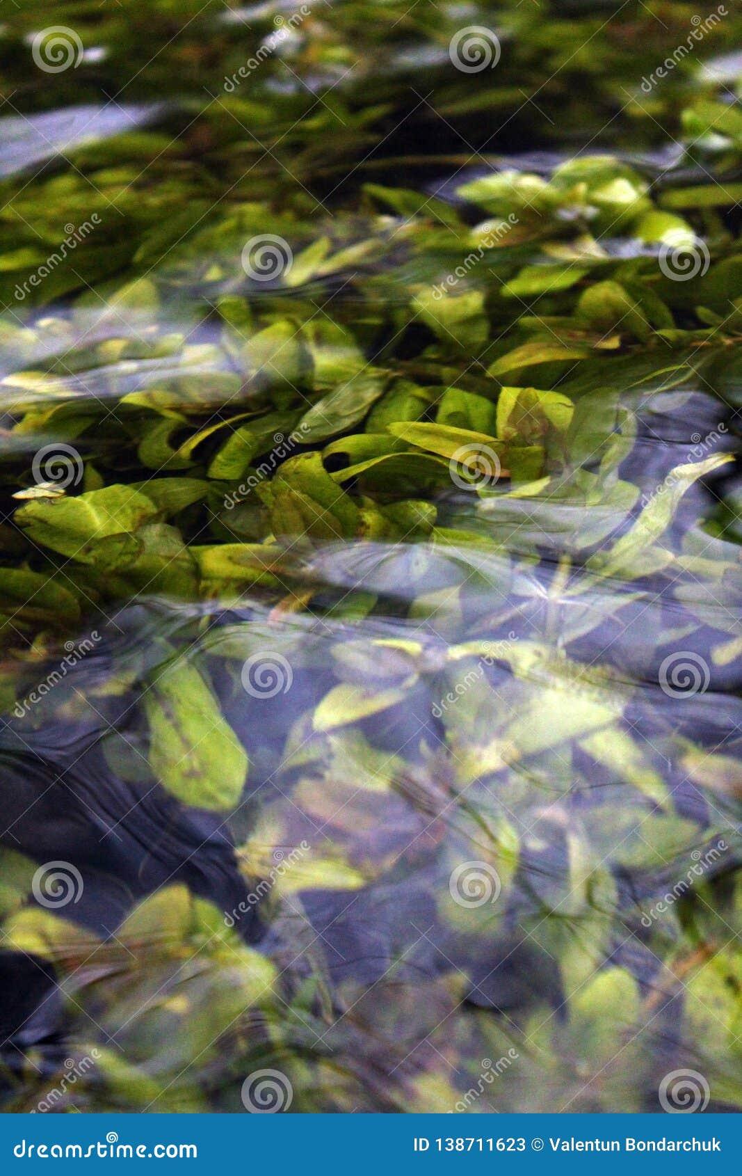 Algen onder de oppervlakte van het water
