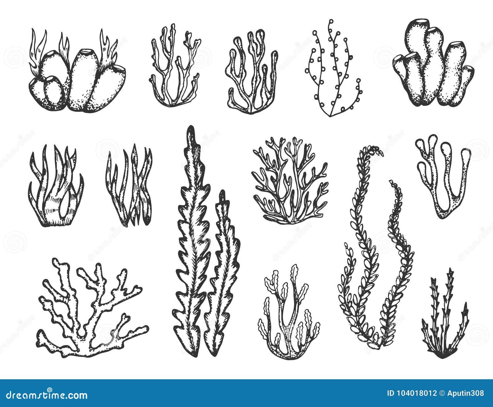 Alghe E Schizzo Fissato Coralli Illustrazione Vettoriale
