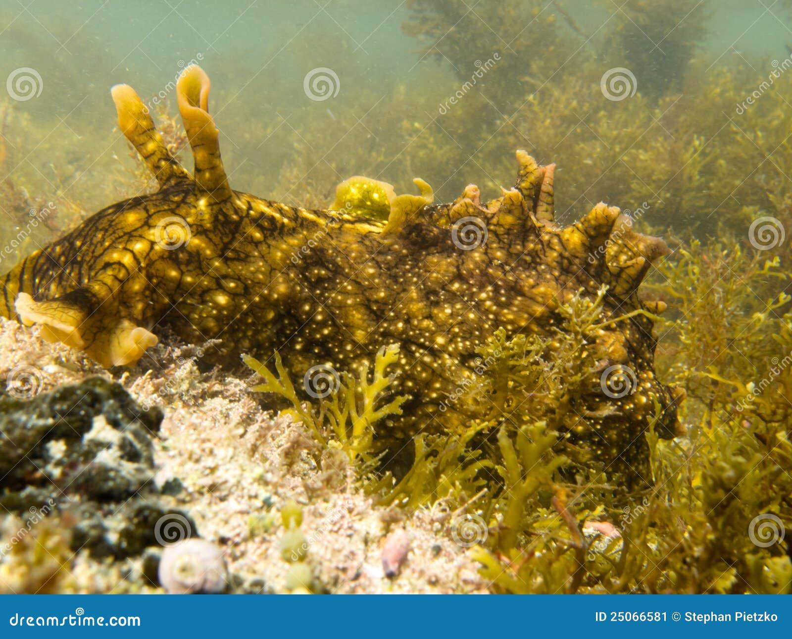 Algi duży pasają gałęzatki narastającej morskiej podrożec