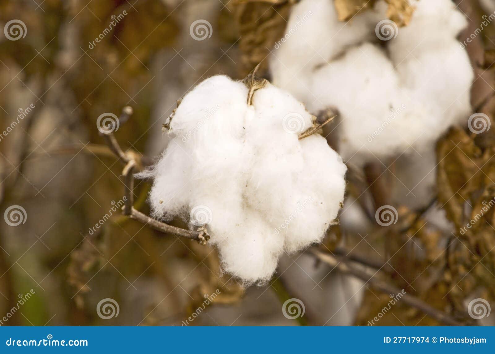 Algodón listo para la cosecha
