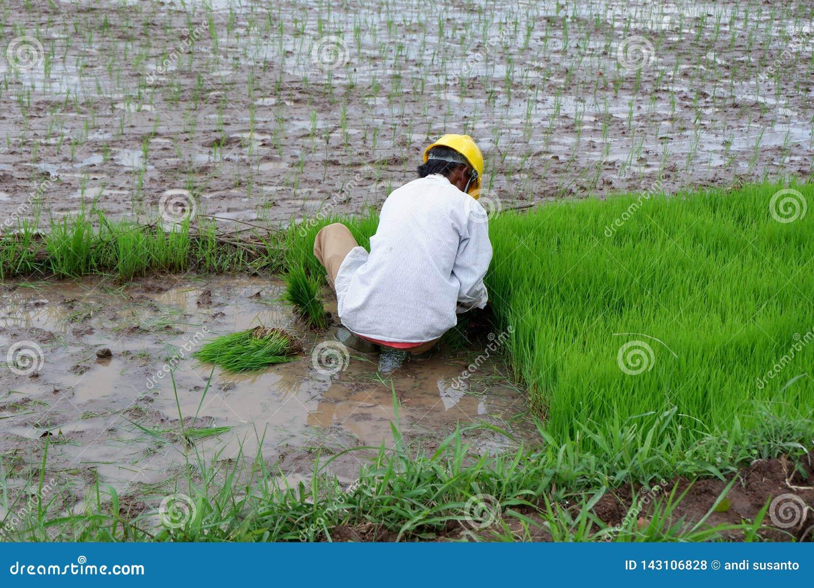 Alguien está plantando el arroz en los campos