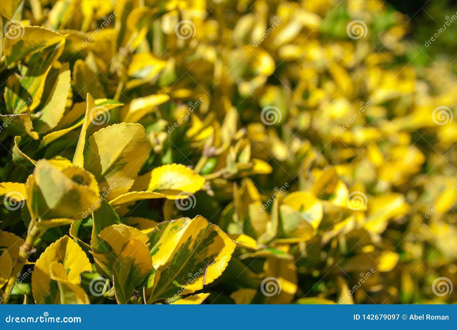 Algum arbusto sae amarelo e verde