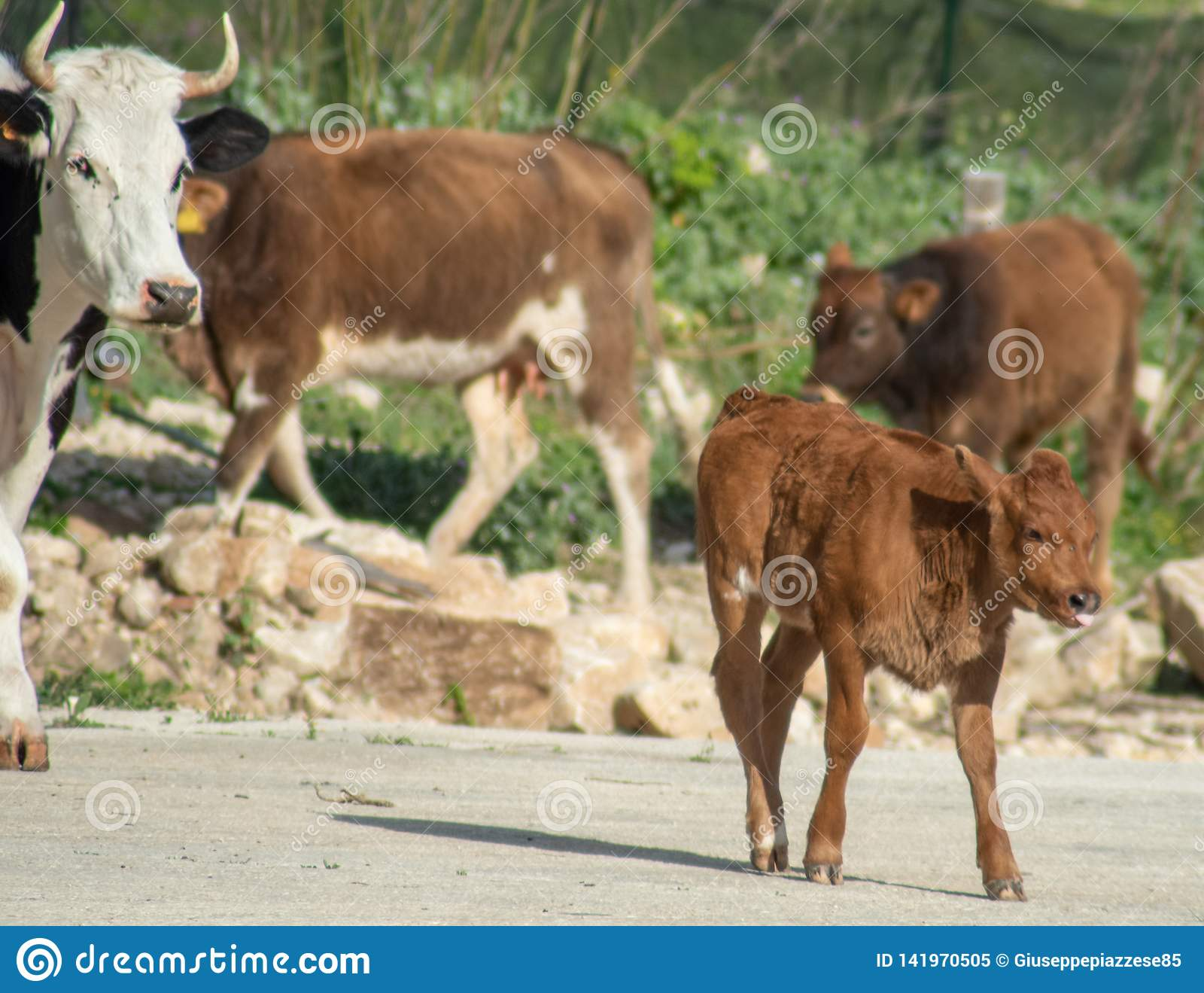 Algumas vacas ao pastar
