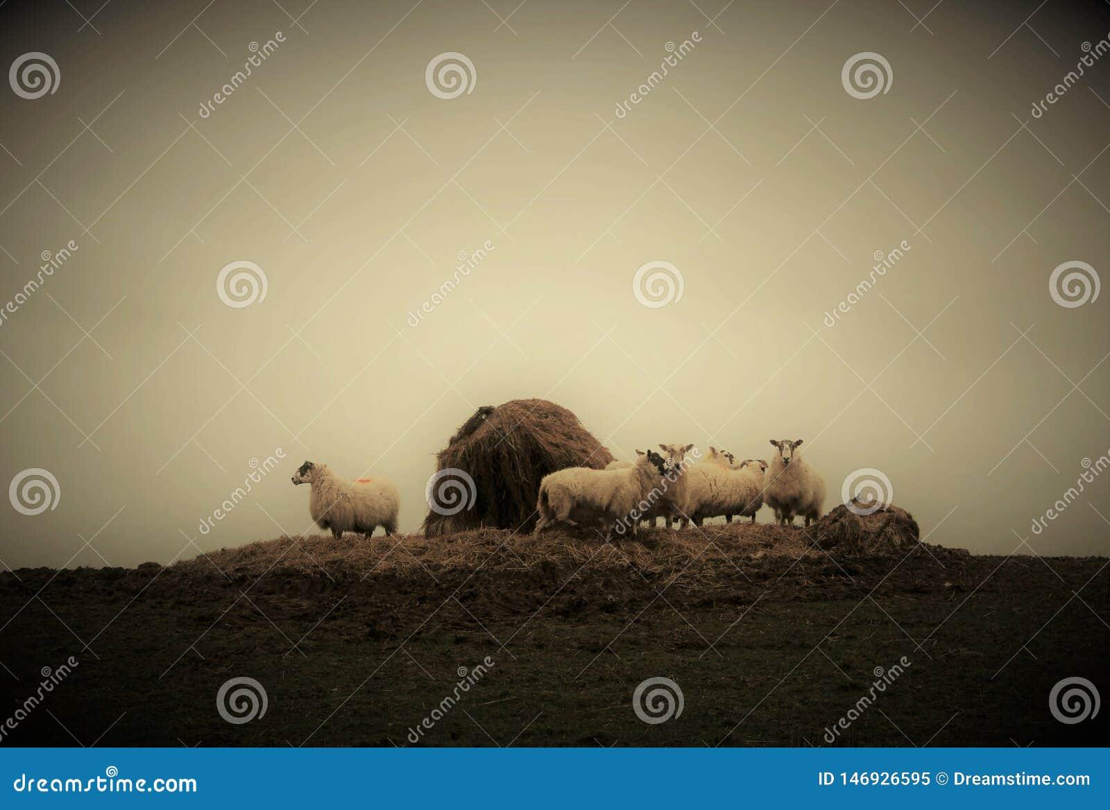 Algunas ovejas que pastan en un prado de niebla