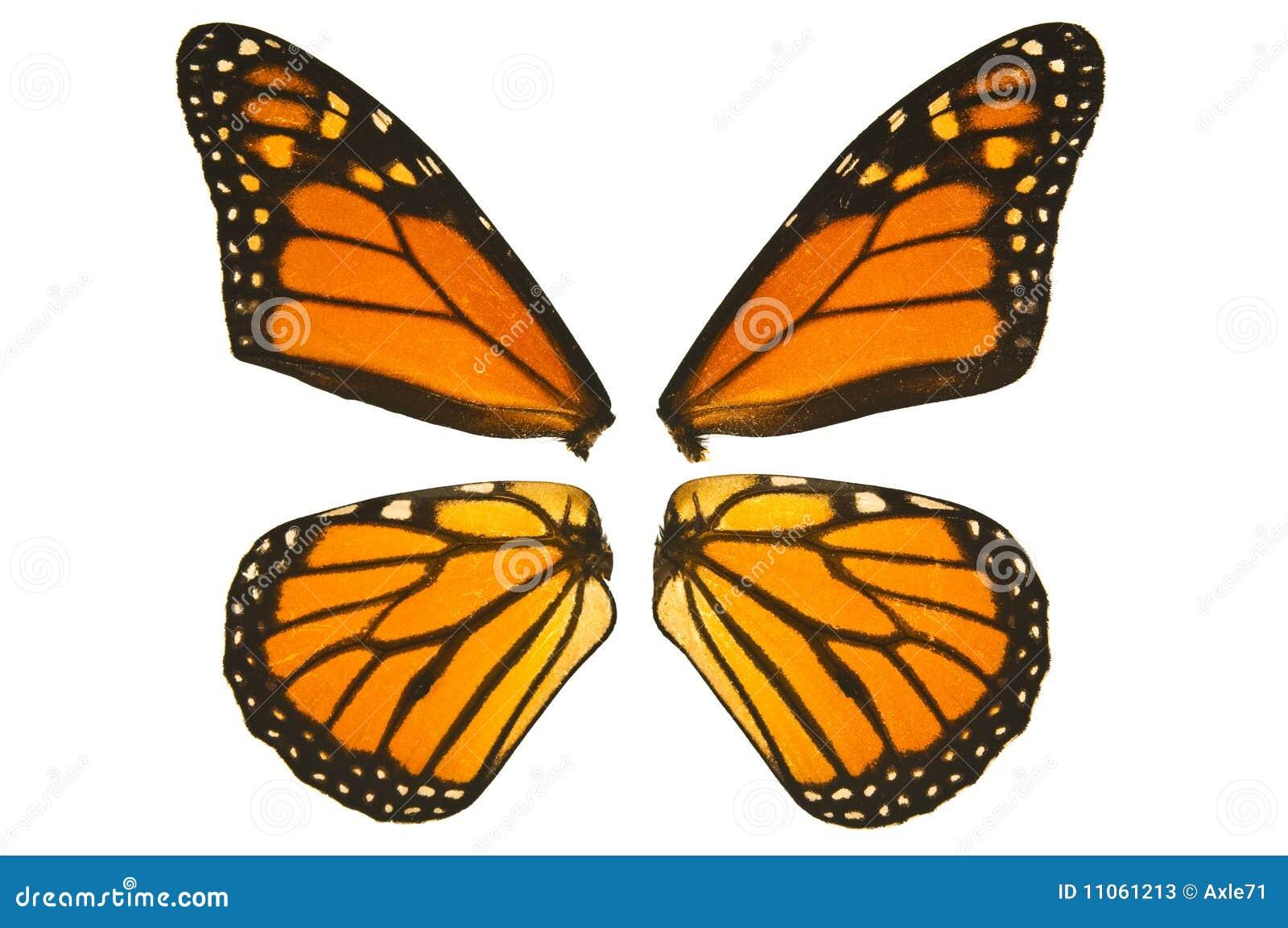 Ali della farfalla di monarca