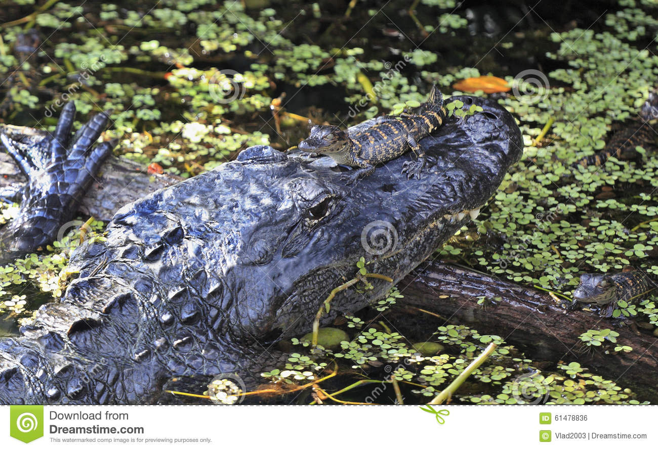 Aligator and his babies in Everglades National Park