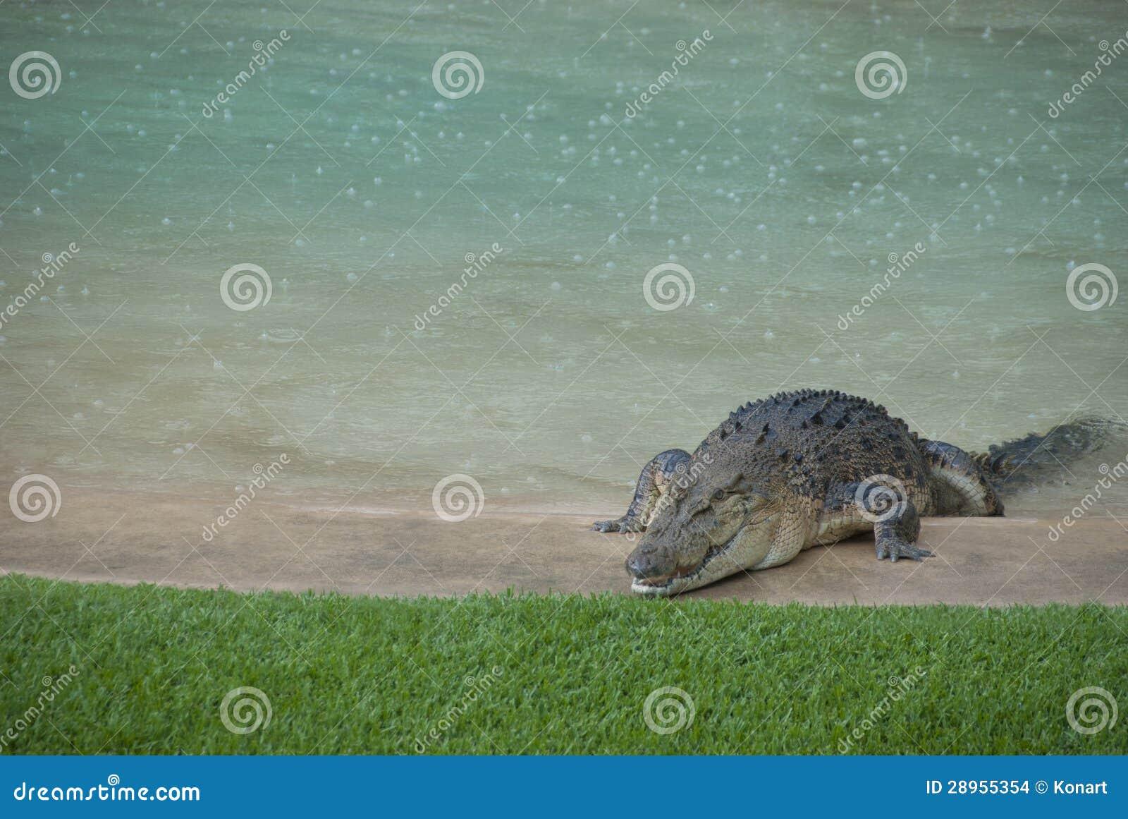 Aligator w podwórka basenie