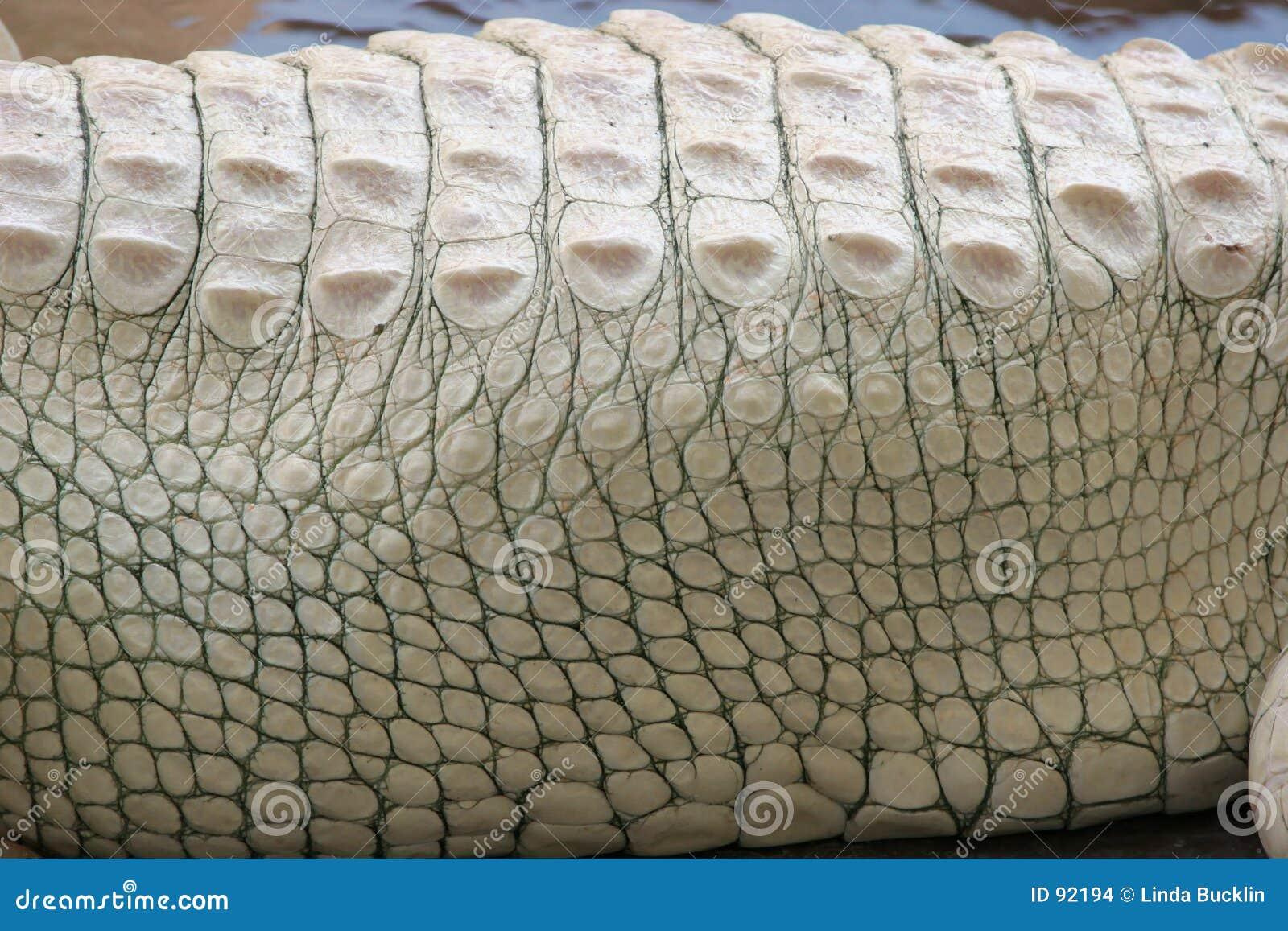Aligatora albinos konsystencja