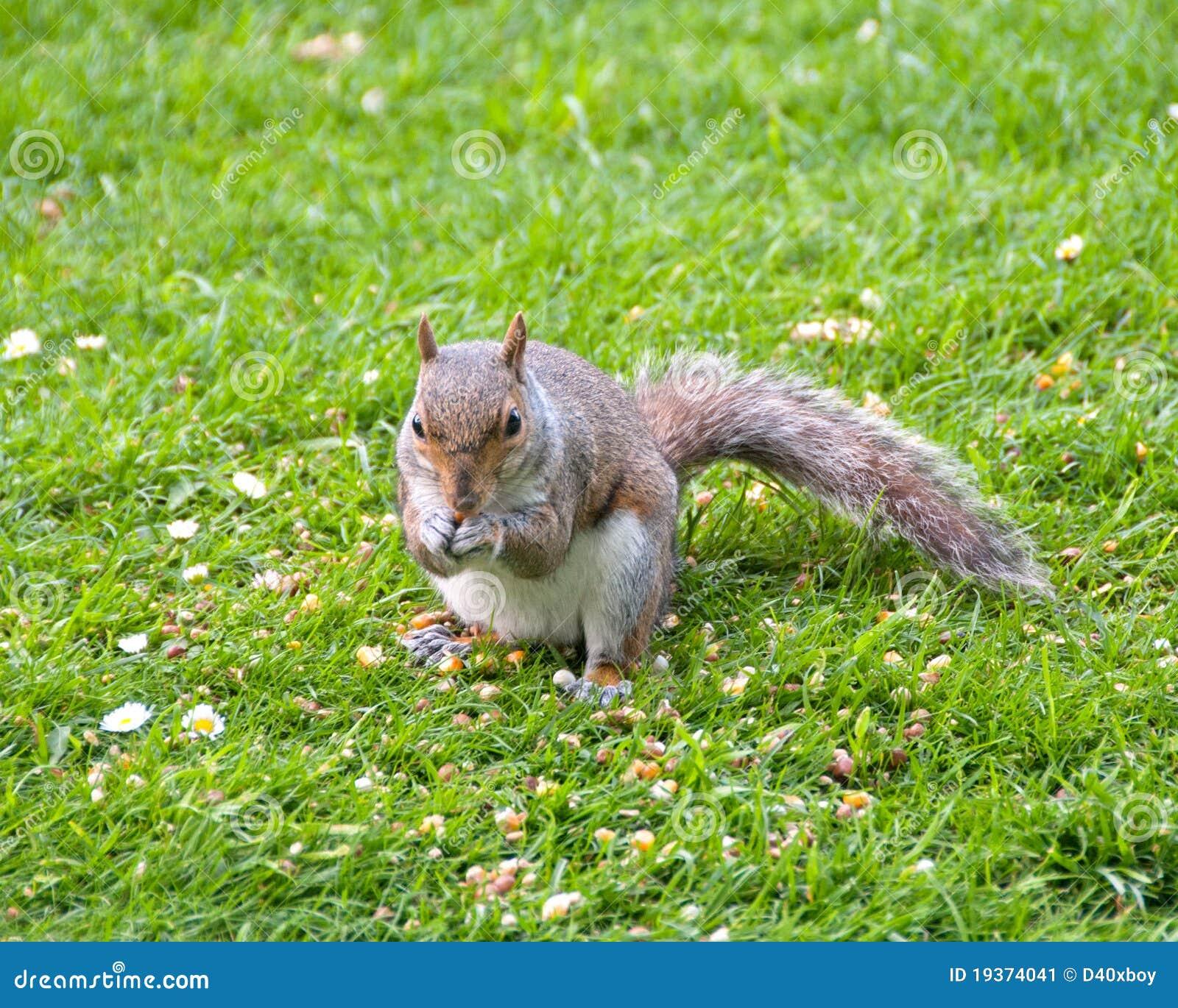 Alimentação cinzenta do esquilo