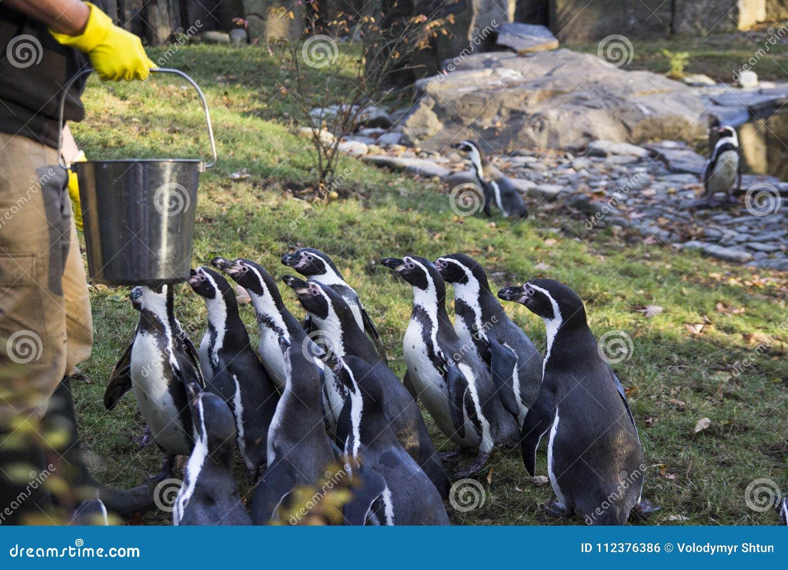 Alimentação dos pinguins Tempo de alimentação do pinguim Homem que alimenta a muitos o pinguim no jardim zoológico