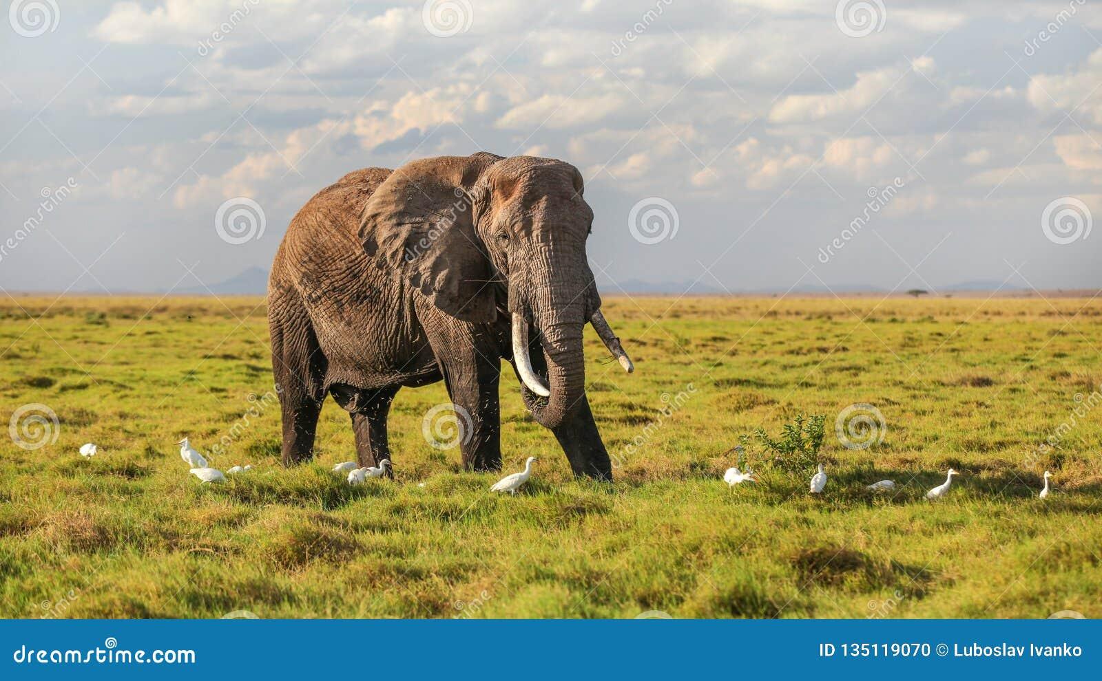 Alimentación africana del africana del Loxodonta del elefante del arbusto, comiendo la hierba de la tierra, un cierto vuelo en ai
