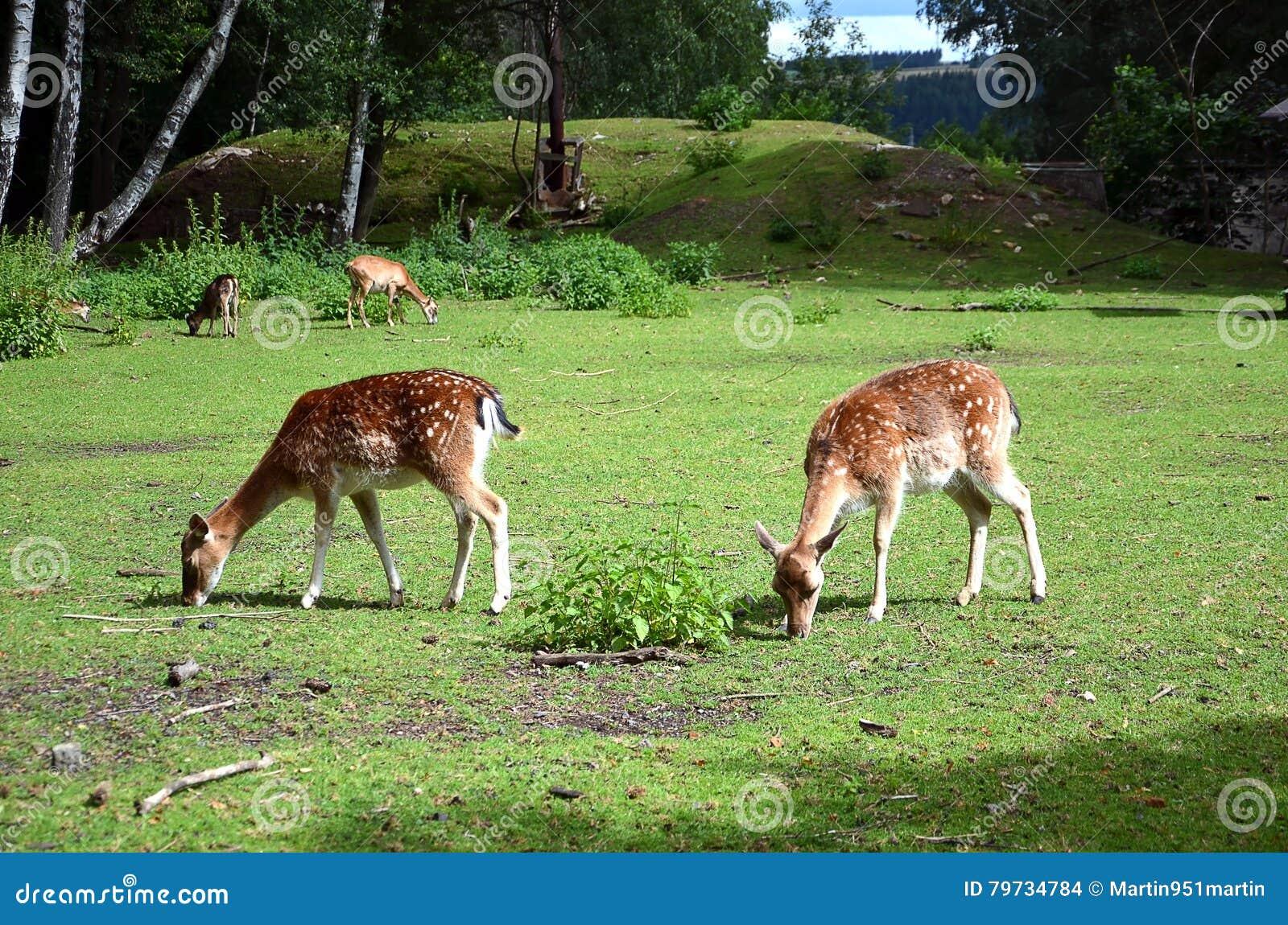 Alimentación de dos hembras de los ciervos en barbecho en la hierba