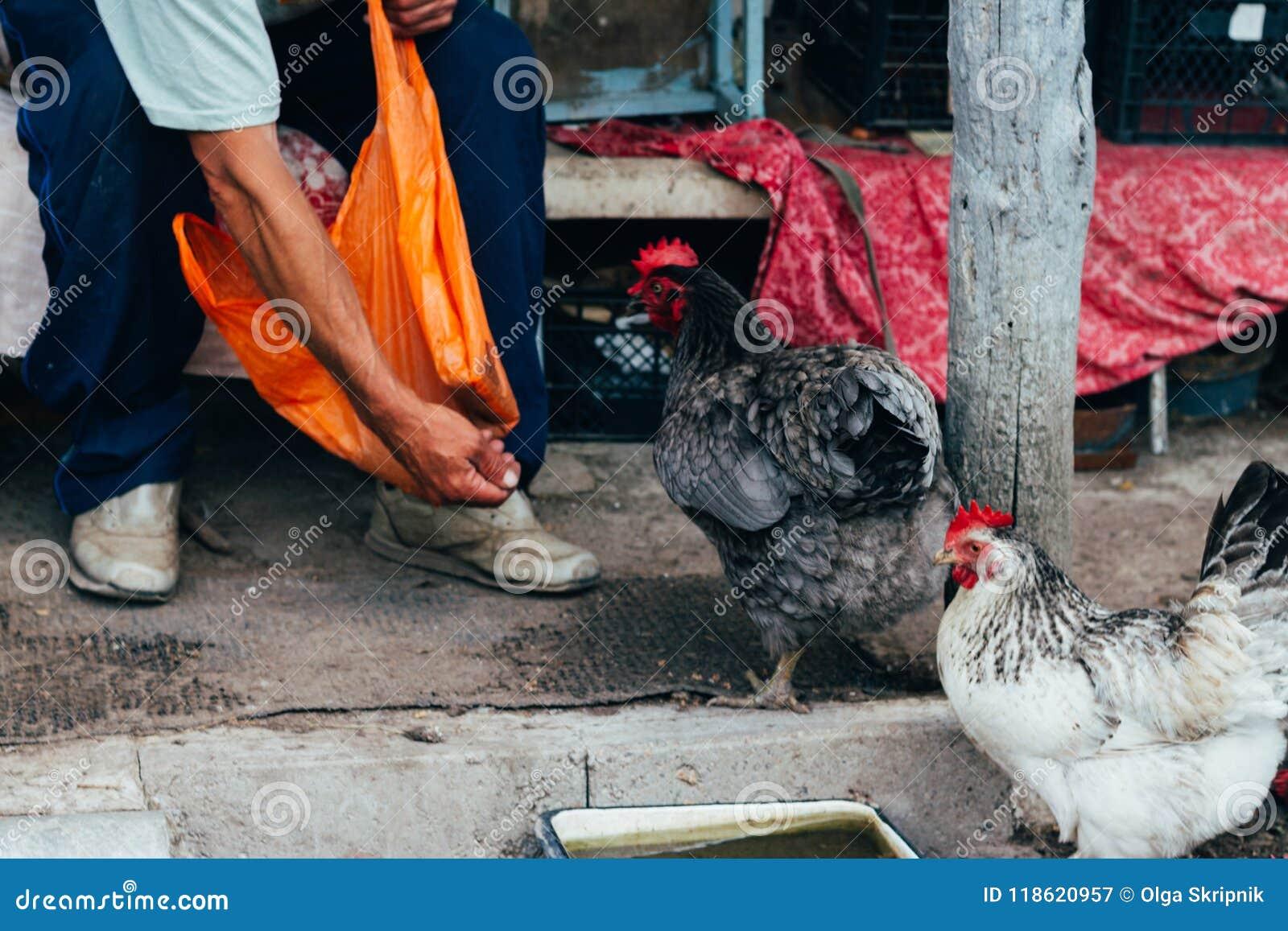 Alimentación de la gallina alimentan el hombre desde las manos un pollo negro con un peine rojo