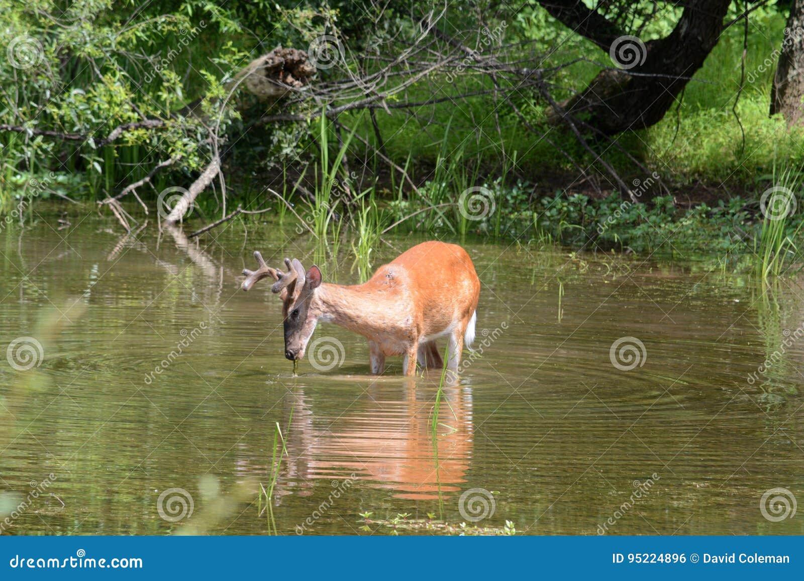 Alimentación de los ciervos
