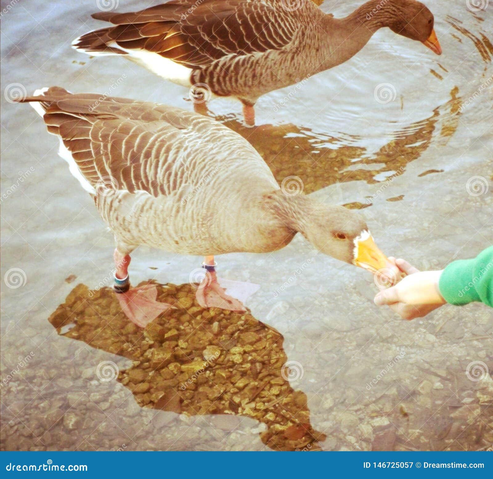 Alimentación de un ganso hambriento por un lago