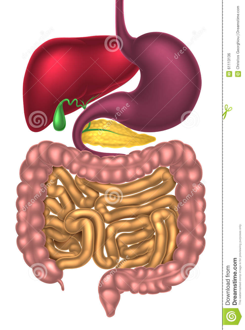 Alimentary Canal Digestive System Stock Vector