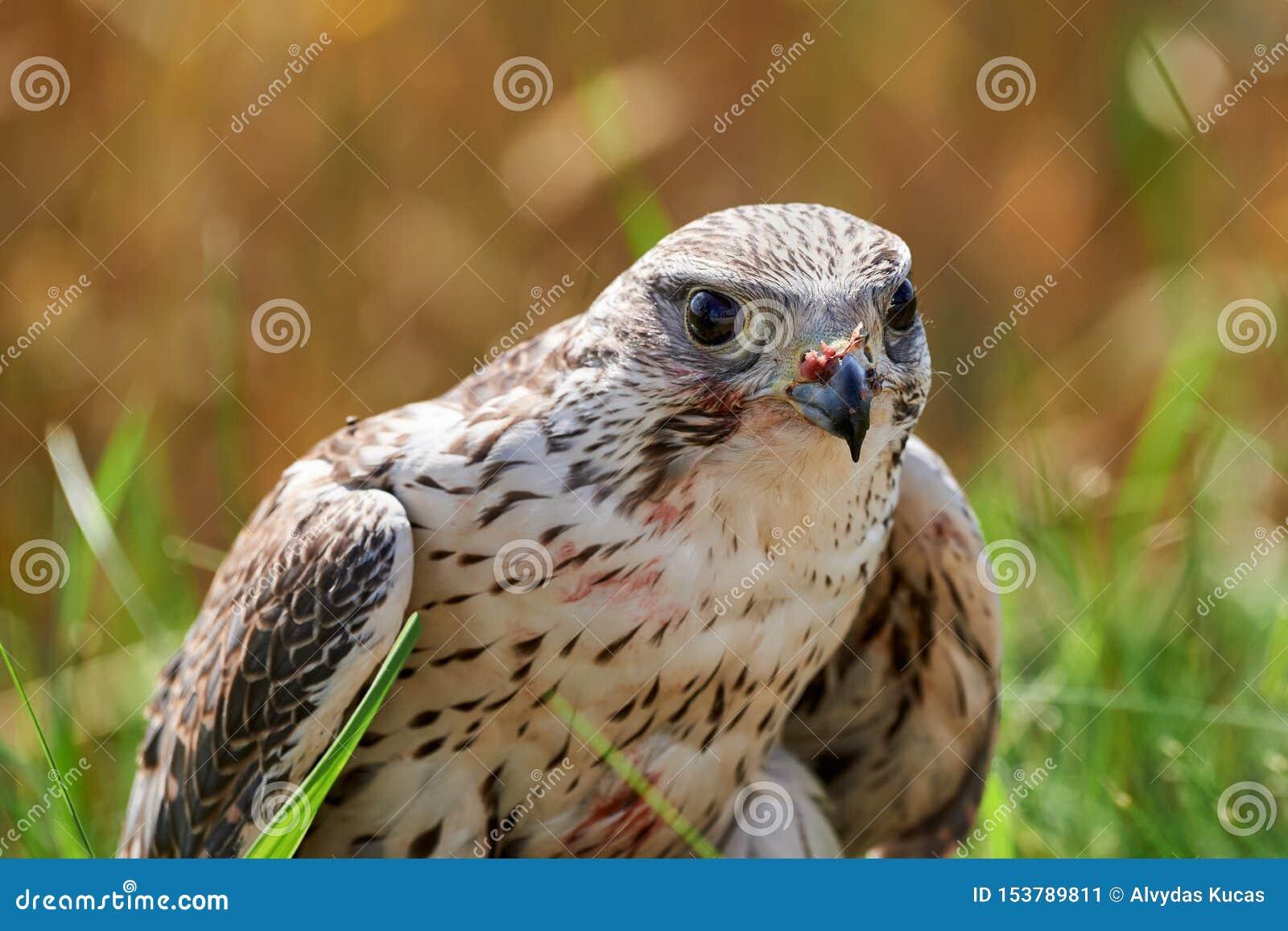 Alimentations de faucon sur la chair de l oiseau capturé