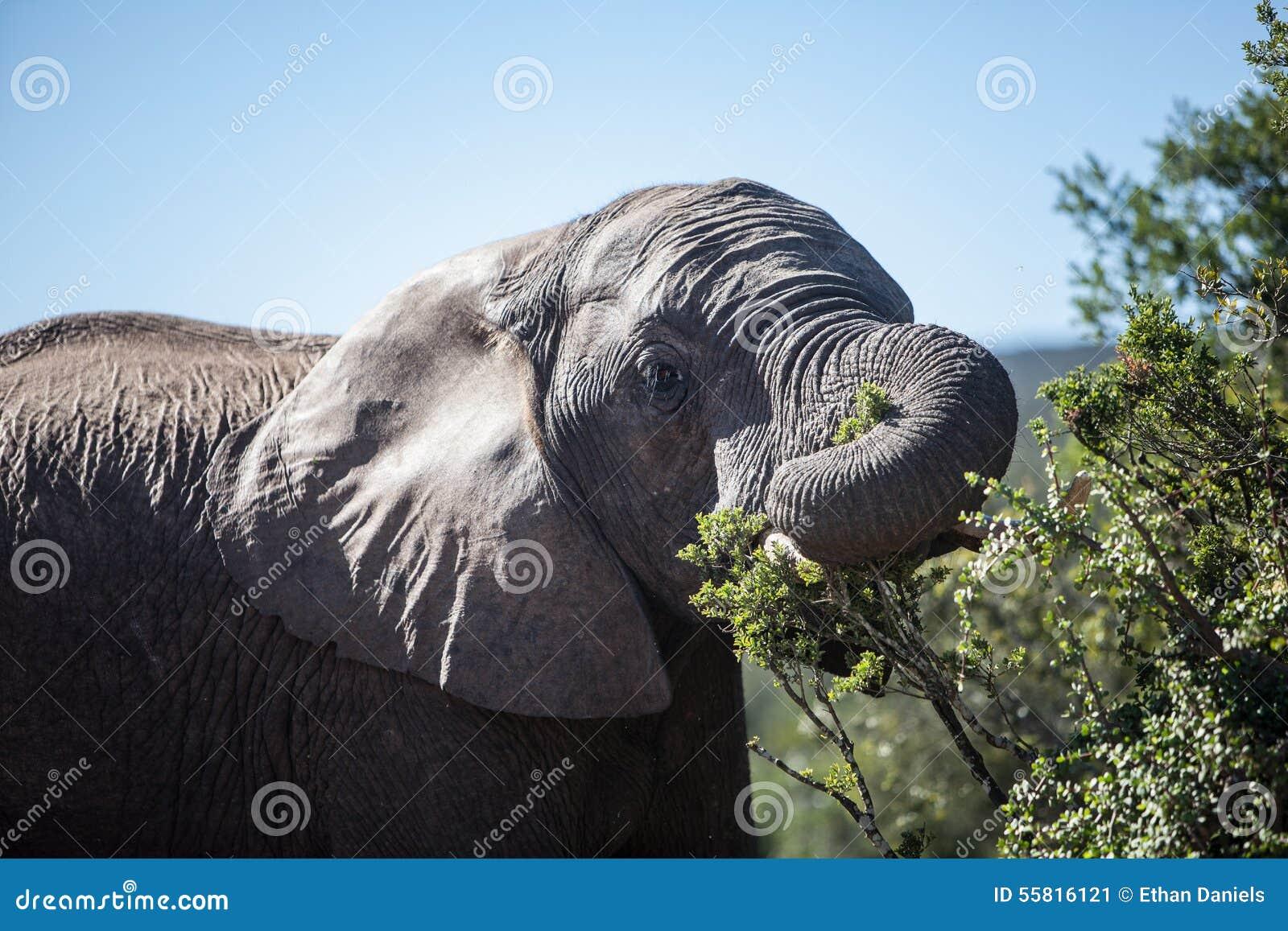Alimentazione dell 39 elefante africano immagine stock - Elefante foglio di colore dell elefante ...