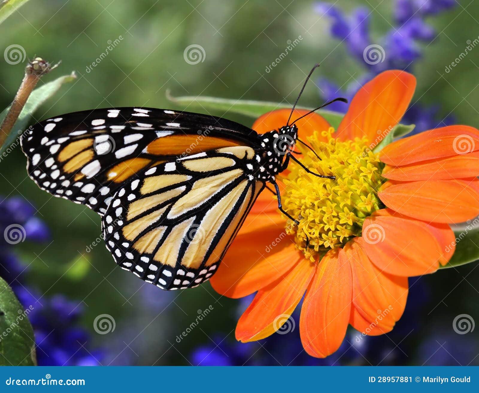 Alimentazione della farfalla di monarca di profilo