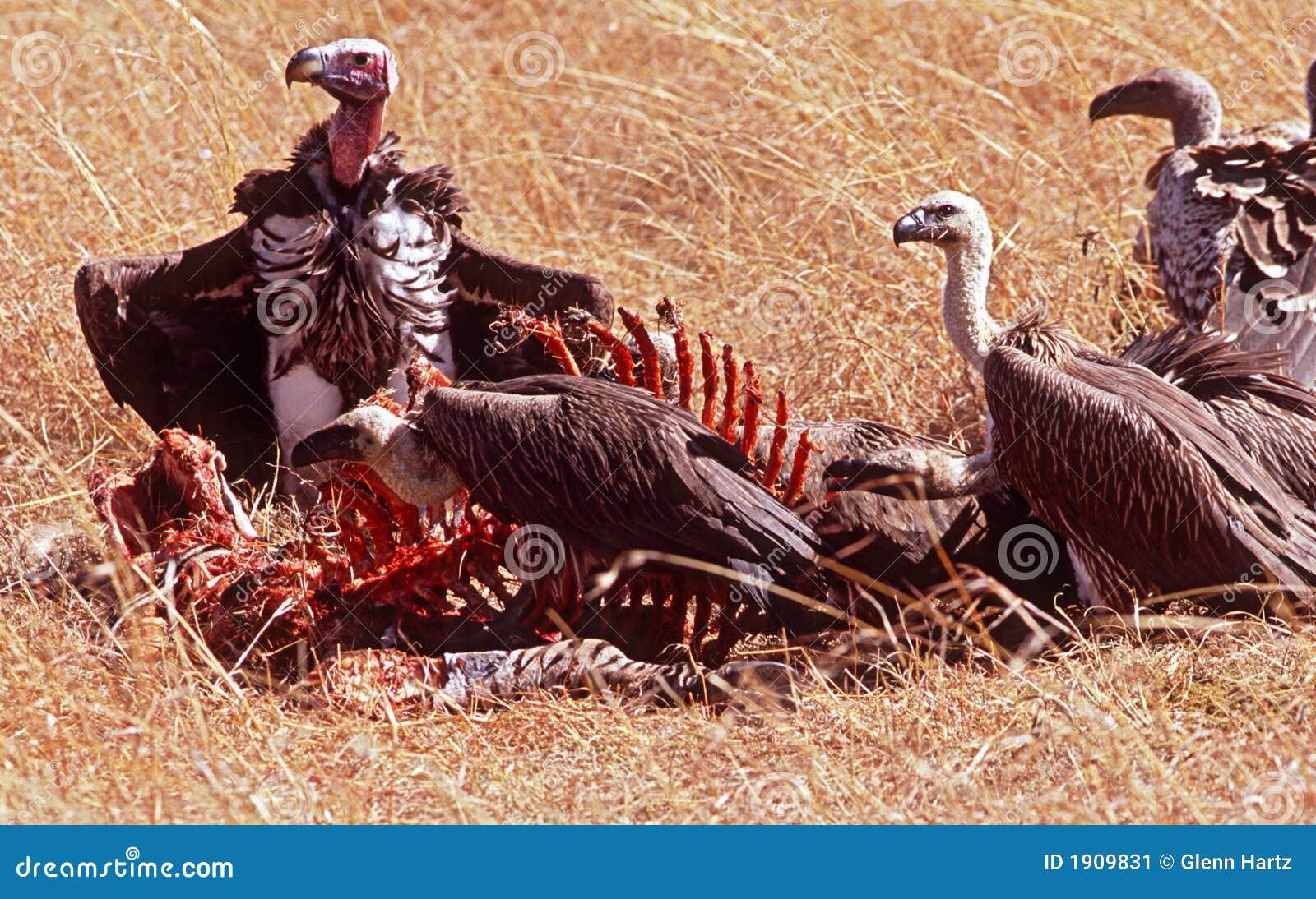 Alimenter de vautours
