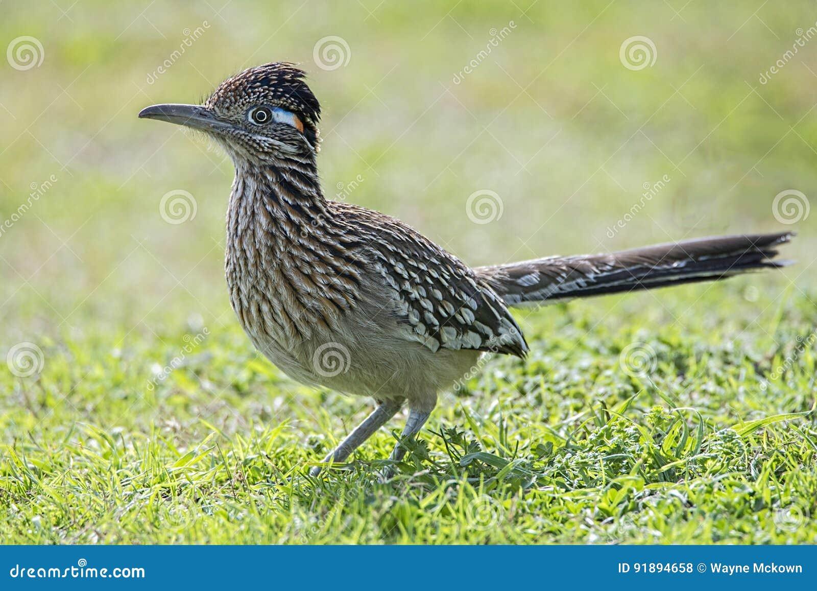 Alimento da caça do pássaro do Roadrunner no campo gramíneo, bico, penas, asa,