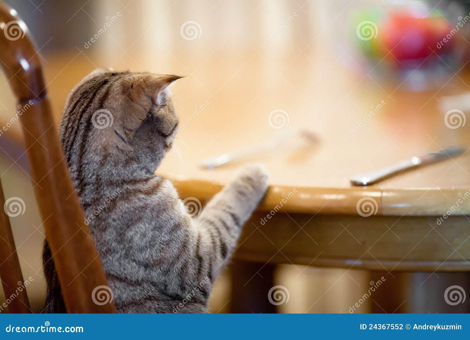 Alimento de espera do gato que senta-se como o homem na tabela