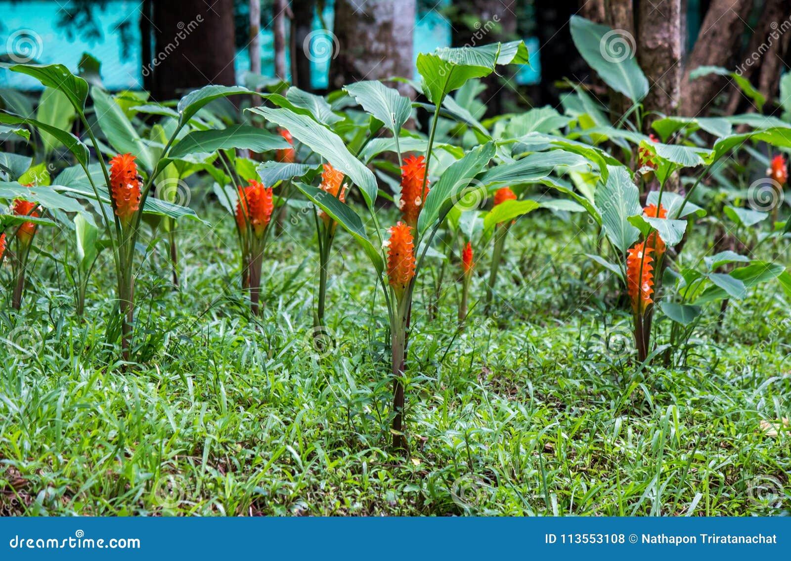 Alismatifolia del tulipsCurcuma de Tailandia con los pétalos de color naranja brillantes grandes en el área de la oficina del par