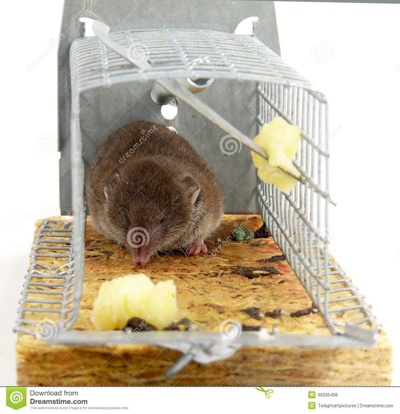 Alive trapped mouse