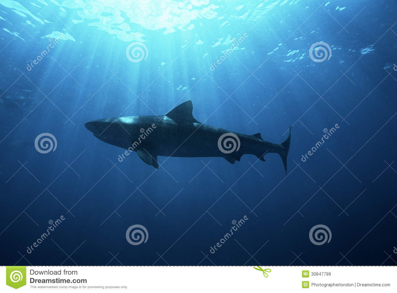 Royalty free stock images aliwal shoal indian ocean south africa dusky