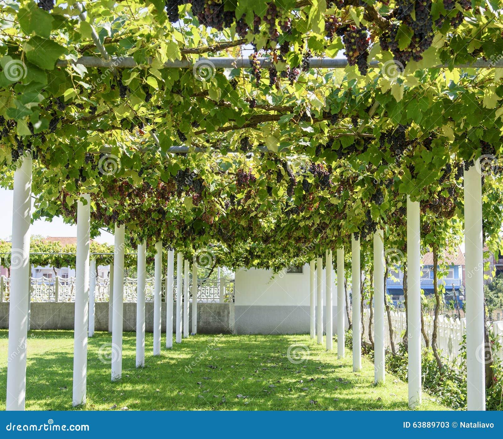 all e avec la pergola couverte de vigne de raisin image stock image du ferme fond 63889703. Black Bedroom Furniture Sets. Home Design Ideas