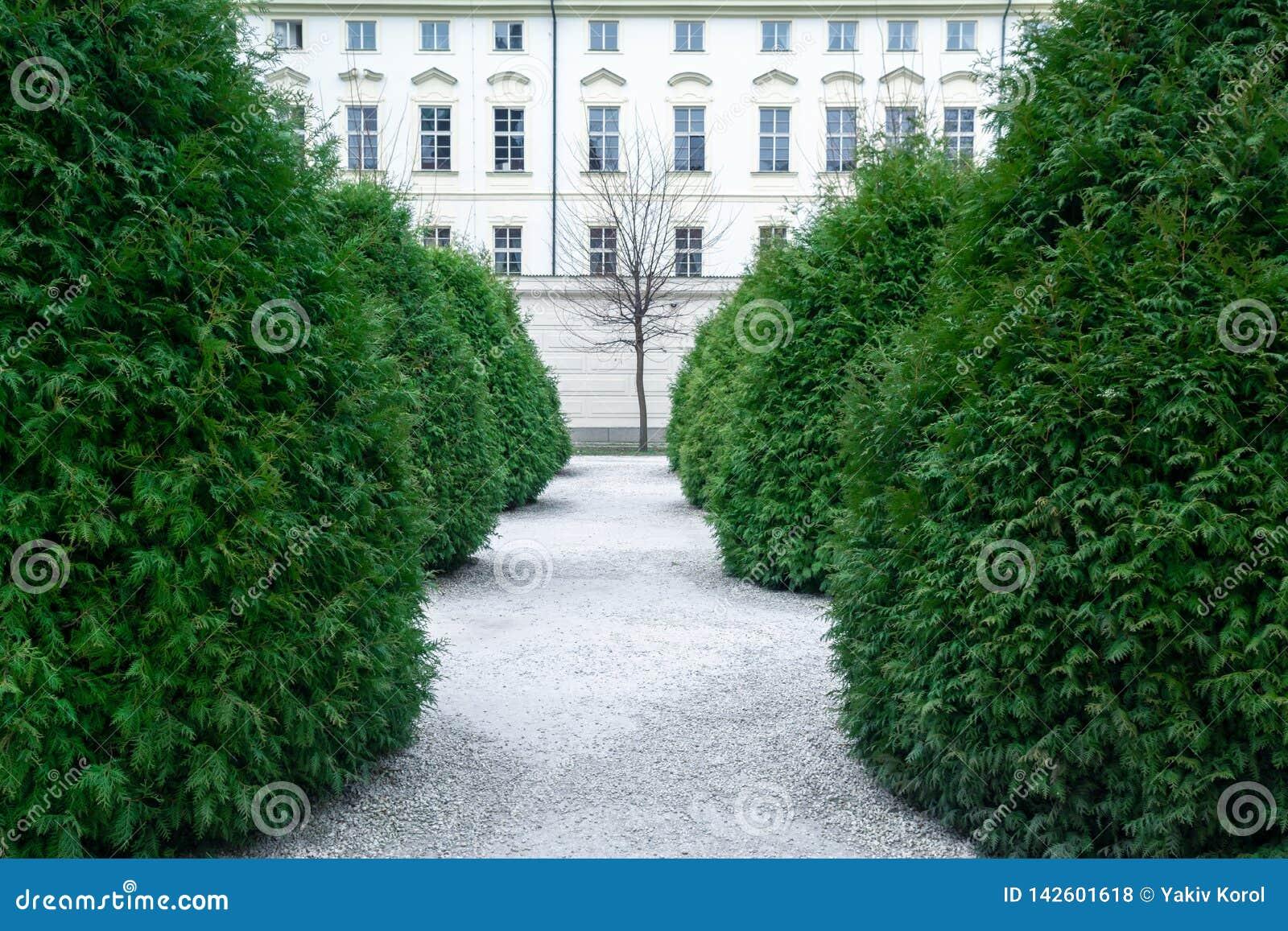 Allée de Tui à feuilles persistantes en parc À l extrémité de l allée il y a un arbre sans feuilles et maison avec de belle