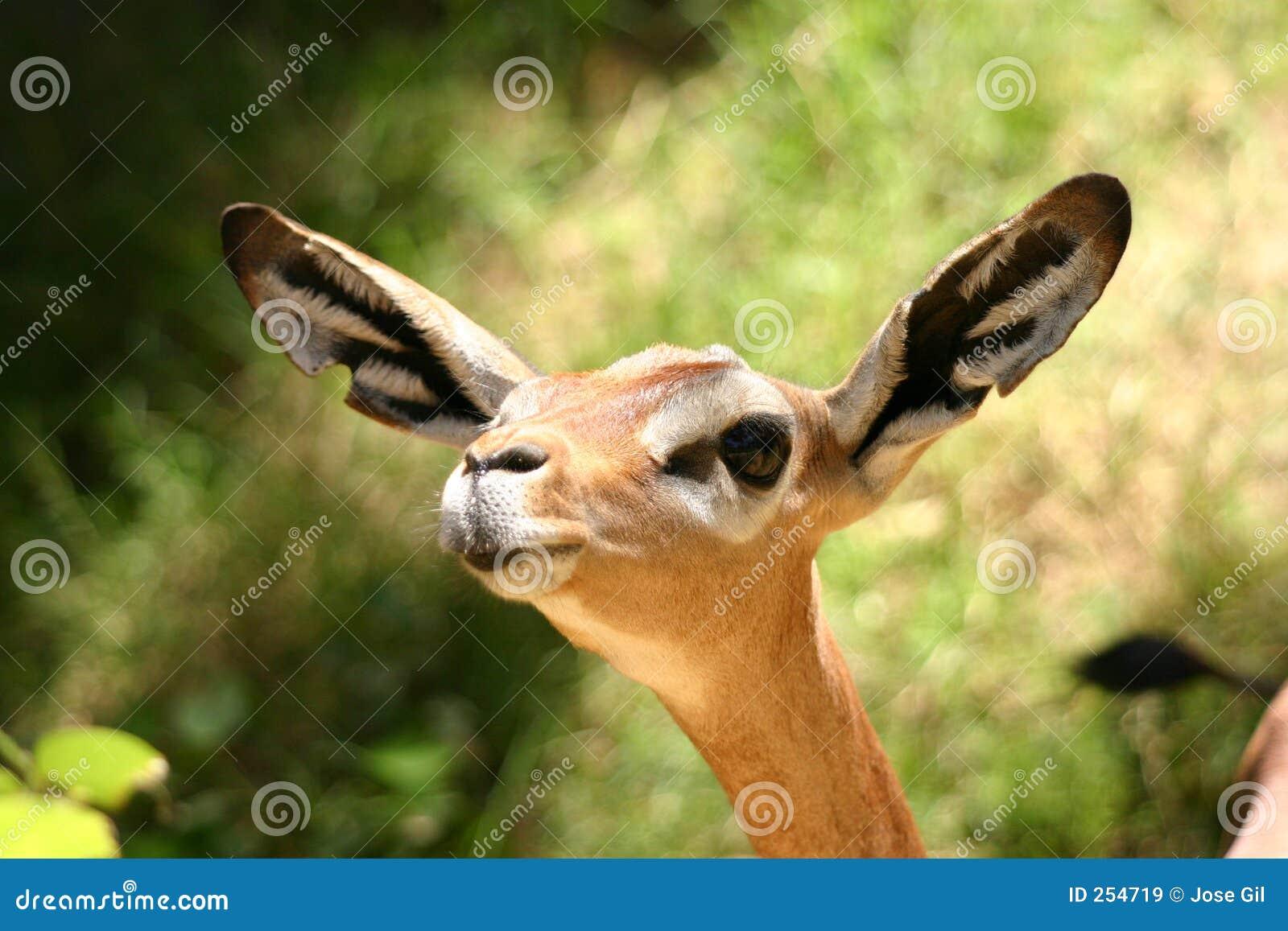 All Ears Deer Gerenuk Royalty Free Stock Images Image 254719