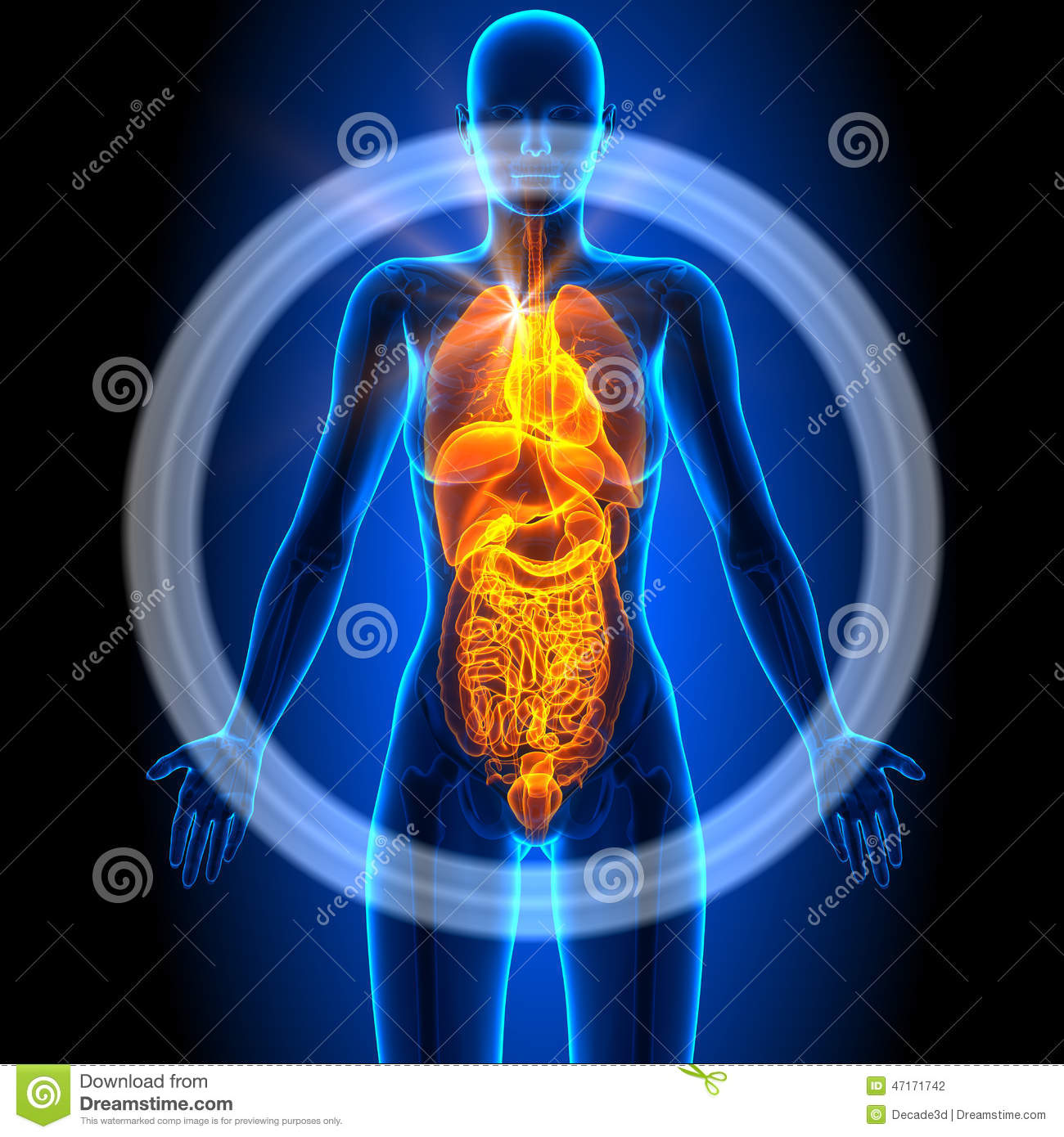 All Female Organs Human Anatomy Stock Illustration