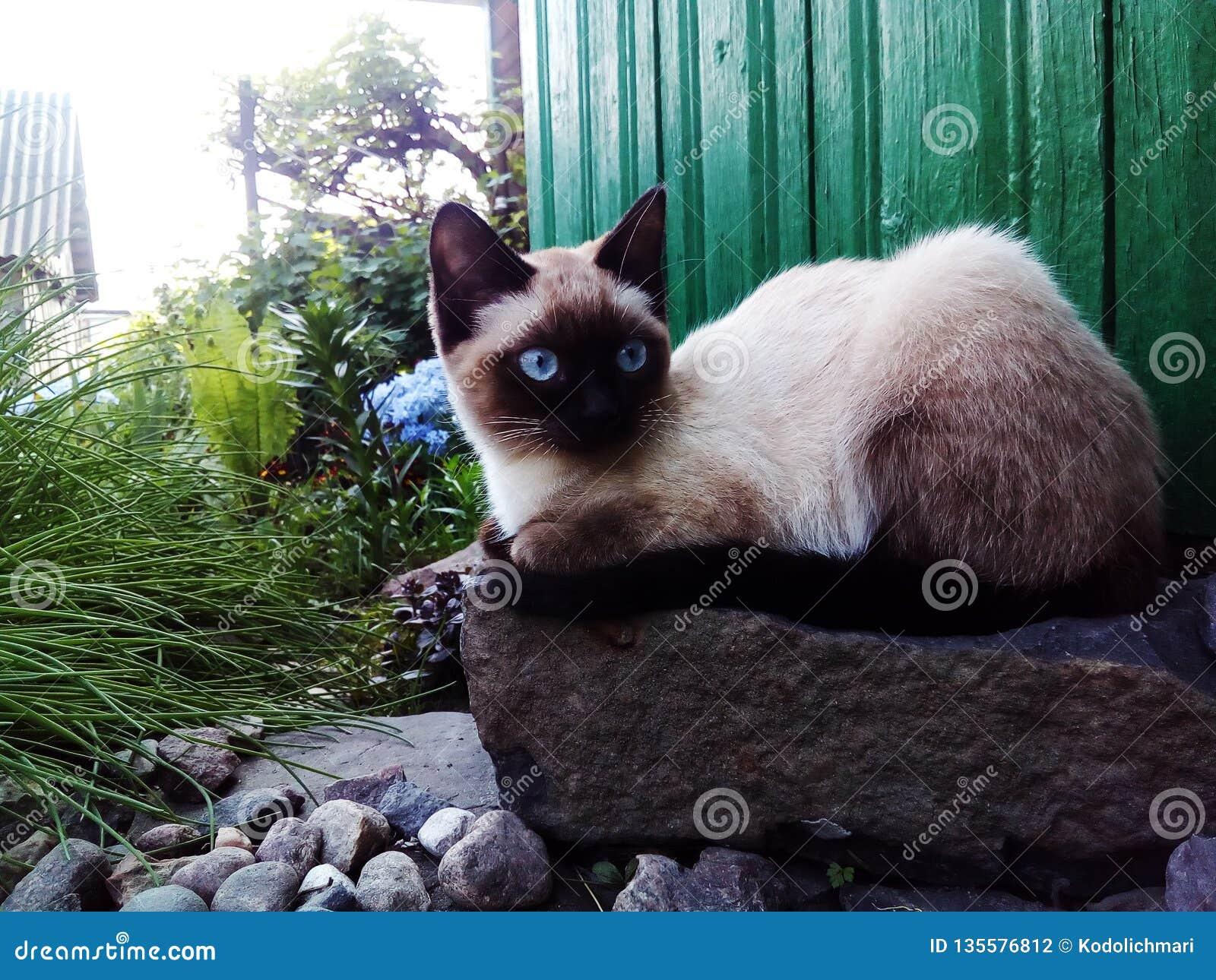 All-focus,cat, Siamese, cute animal, blue eyes
