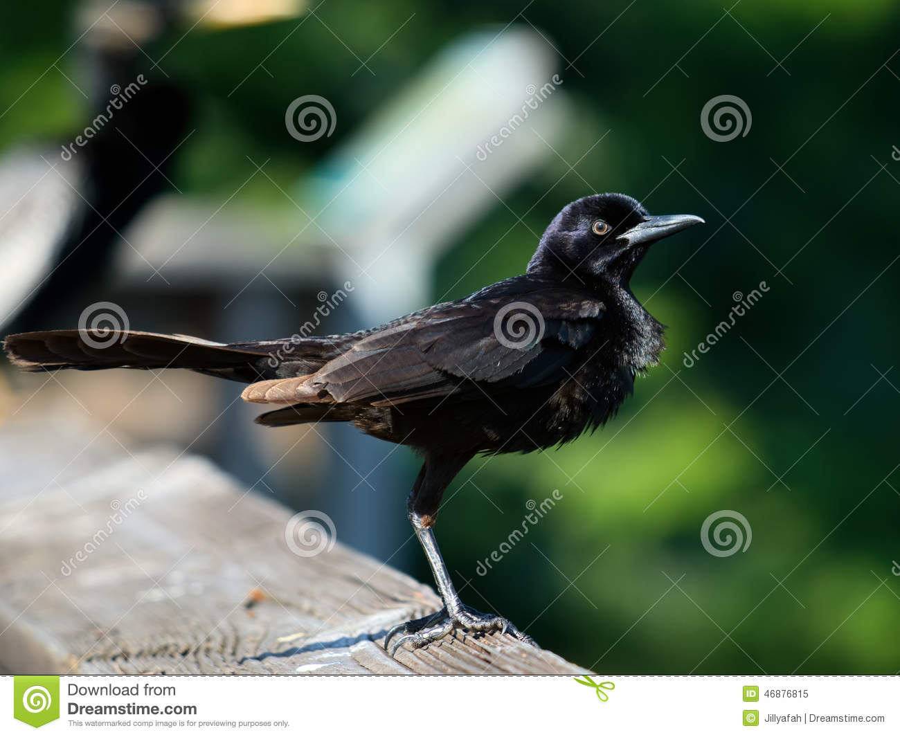 All Puffed Up stock image  Image of concepts, chest, bird