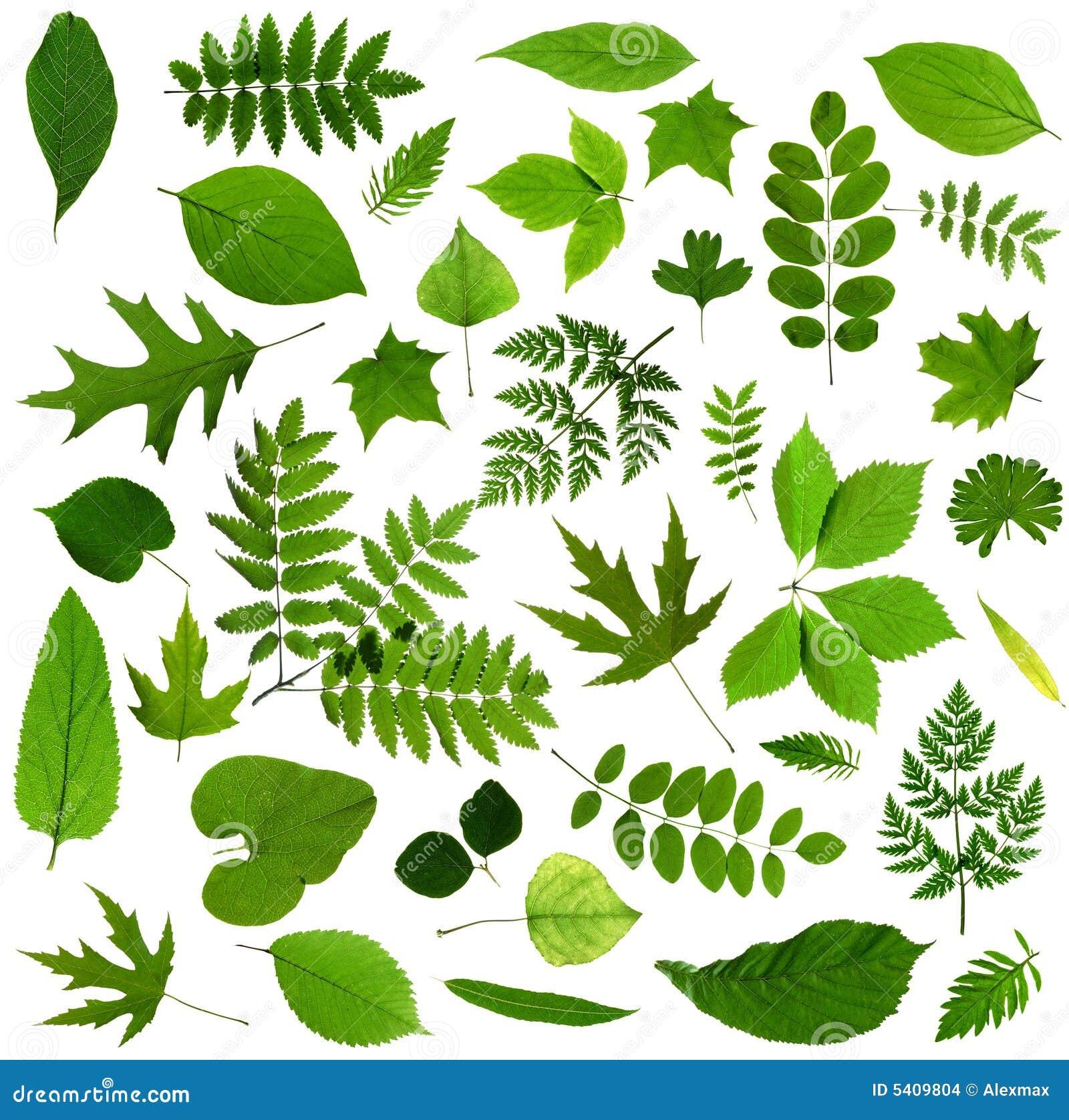 All sorts of green leaves stock photo image of silhouette for Nombres de arboles en ingles
